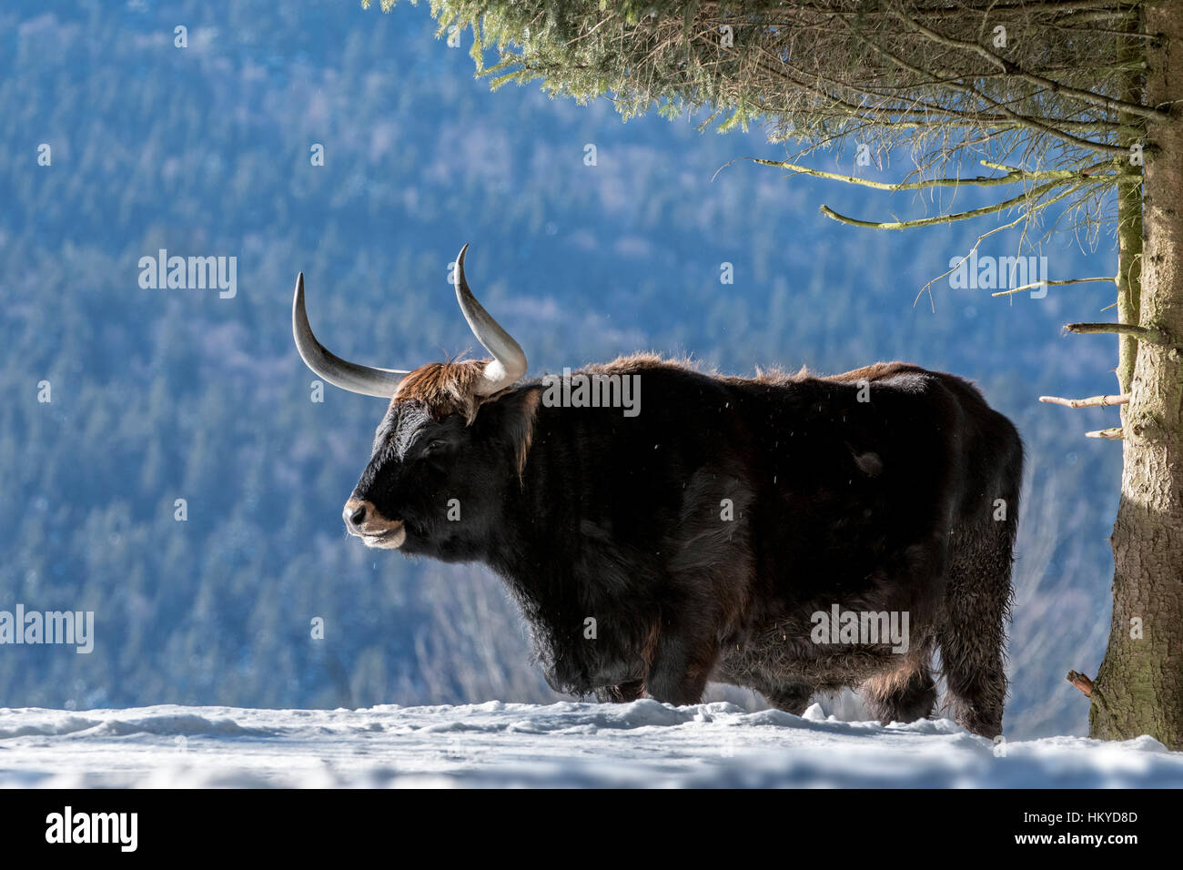 Heck cattle (Bos domesticus) bull under tree in the snow in winter. Attempt to breed back the extinct aurochs (Bos - Stock Image
