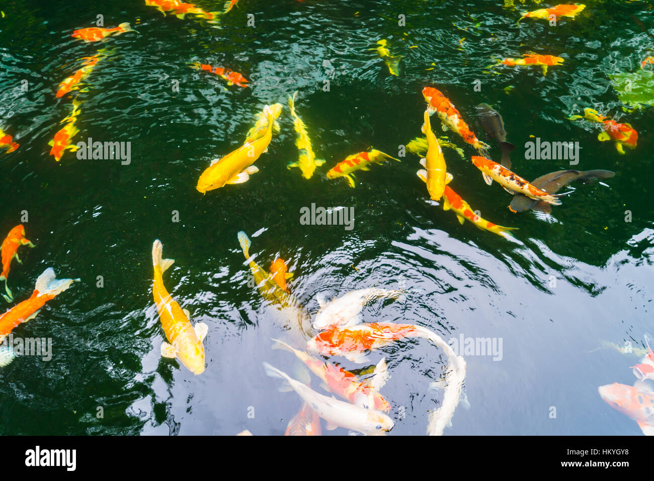 Colorful Koi fish swimming in water Stock Photo: 132757052 - Alamy