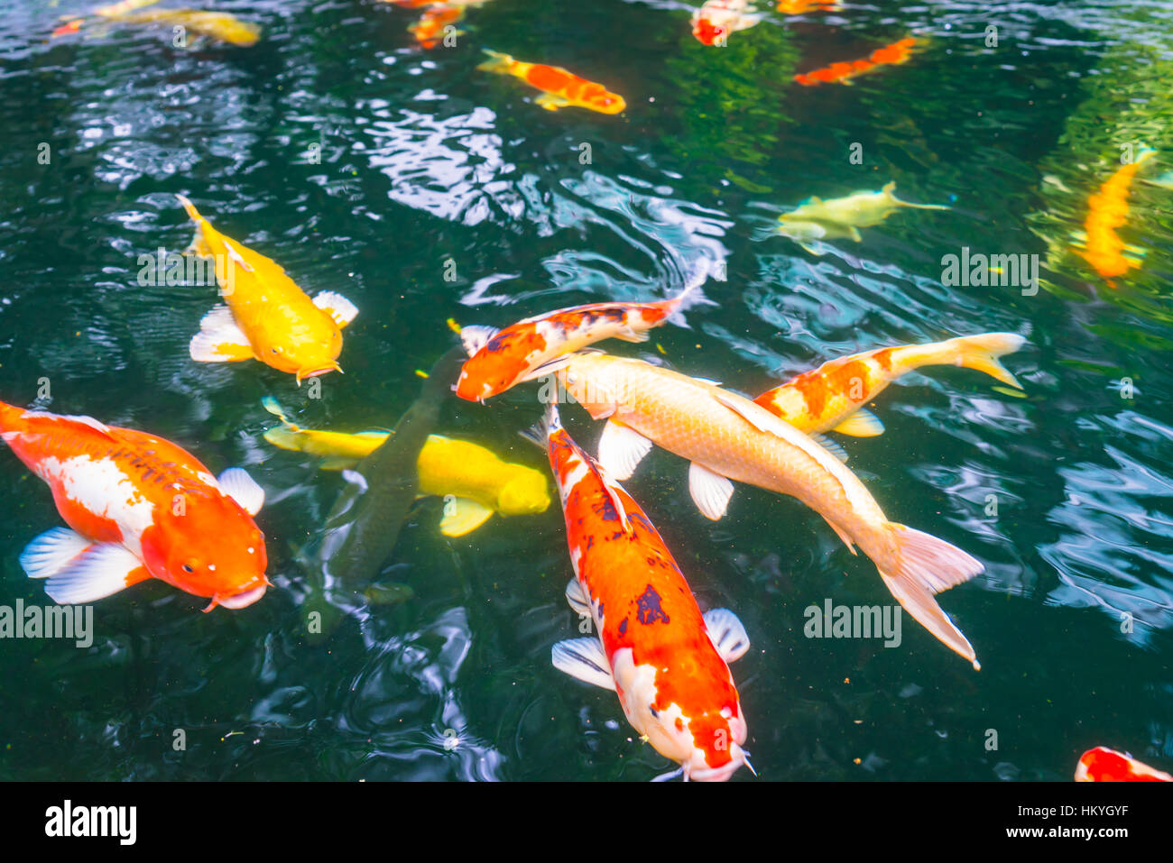 Colorful Koi fish swimming in water Stock Photo: 132757059 - Alamy