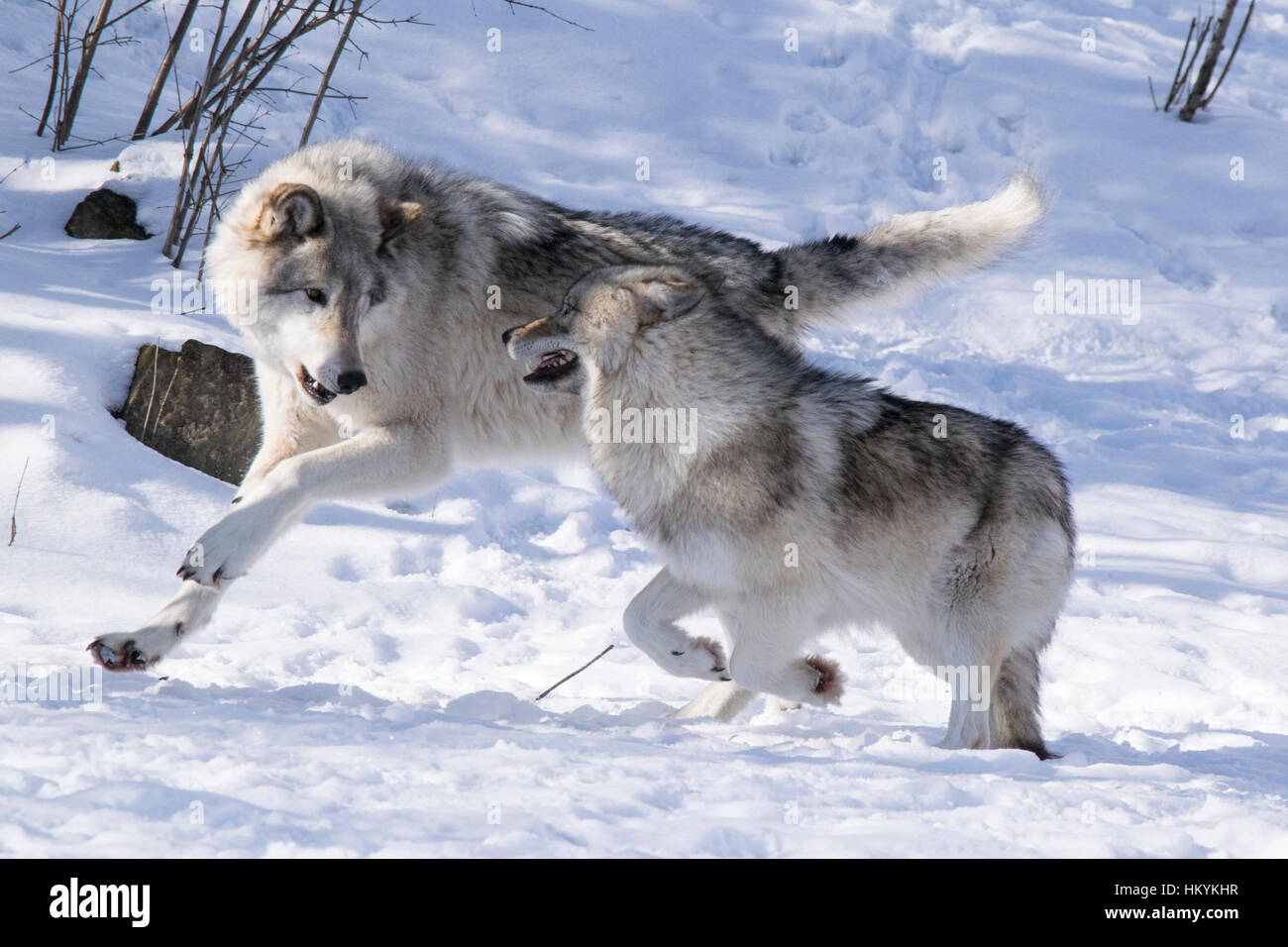 Wolves Play