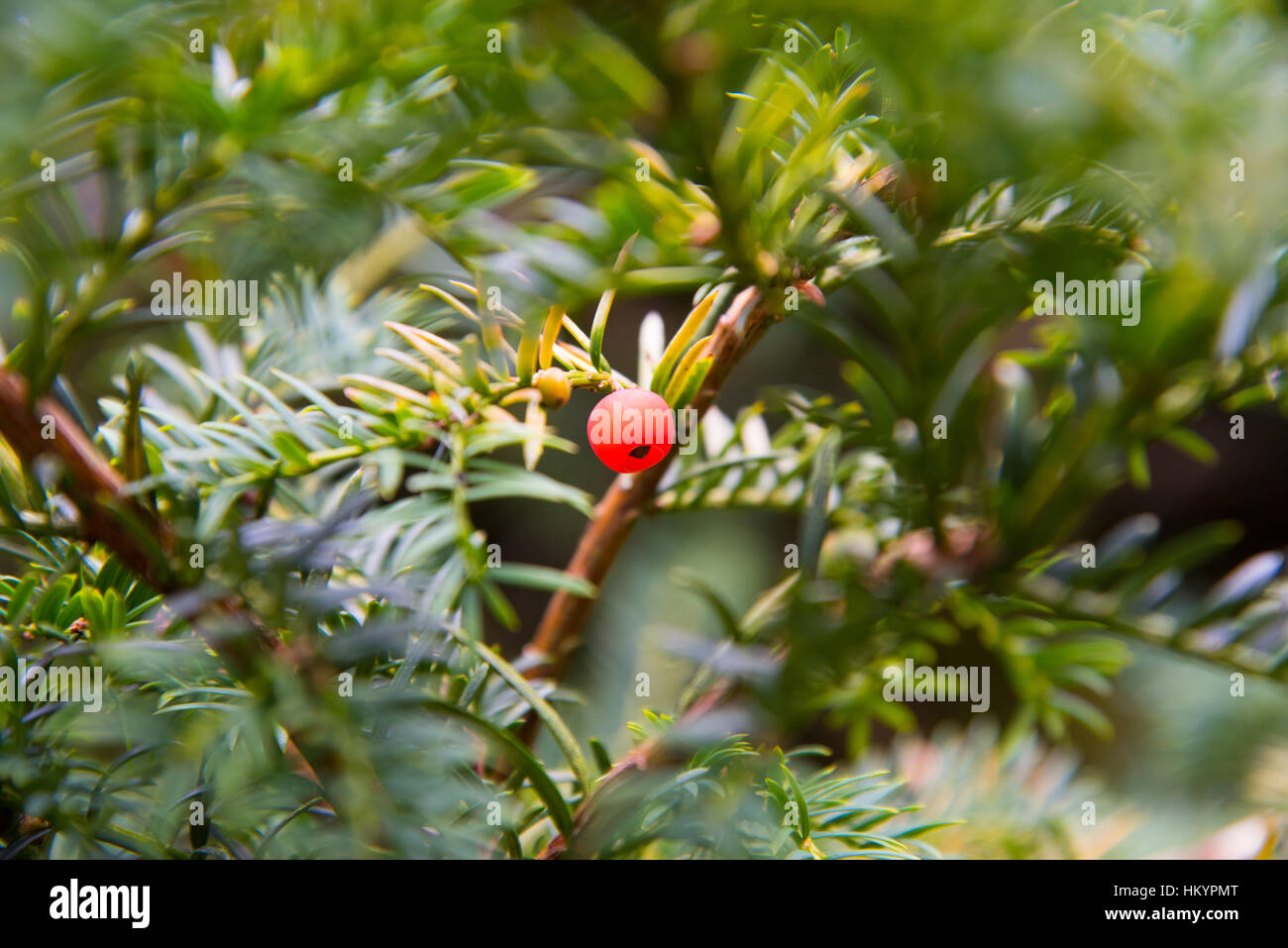Yew tree berry. - Stock Image