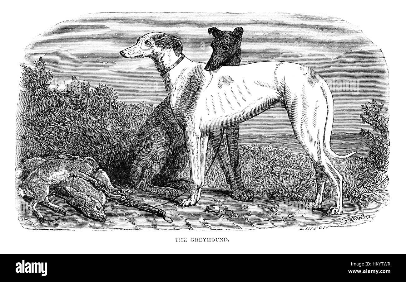 Greyhound Dog. 19th century Engraving from 'Popular Natural History' published in 1866. - Stock Image