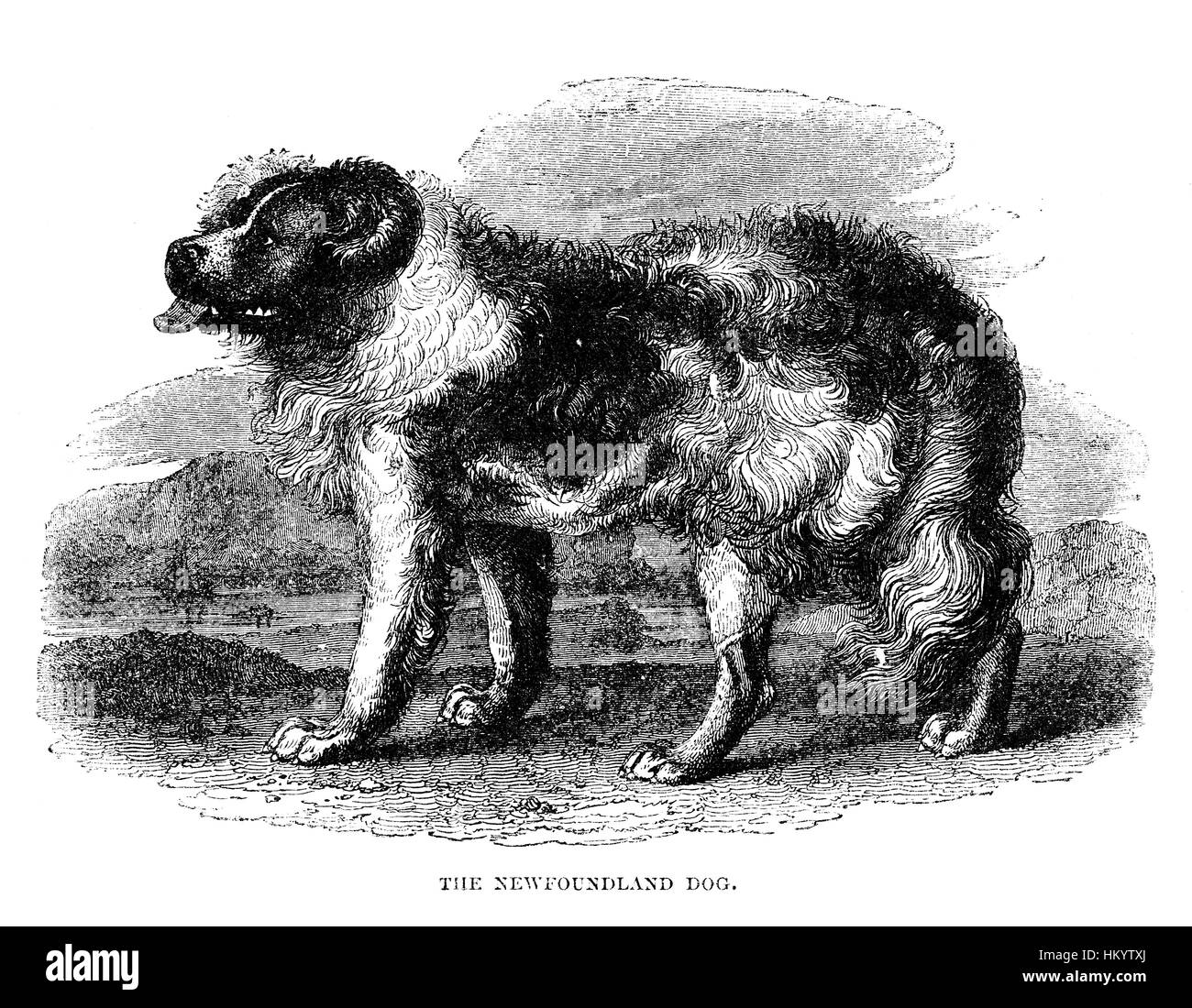 Newfoundland Dog. 19th century Engraving from 'Popular Natural History' published in 1866. - Stock Image