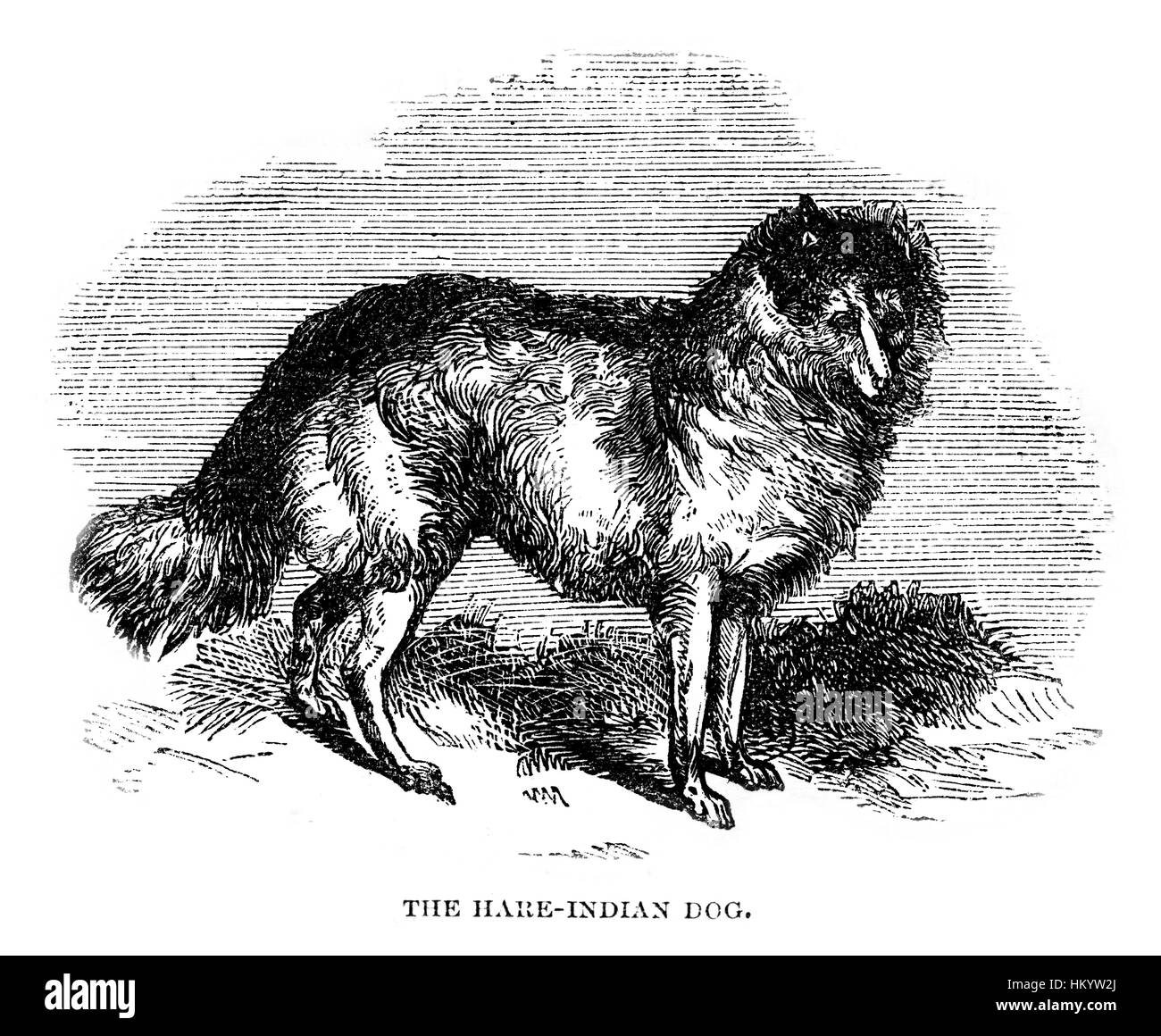 Hare-Indian Dog. 19th century Engraving from 'Popular Natural History' published in 1866. - Stock Image