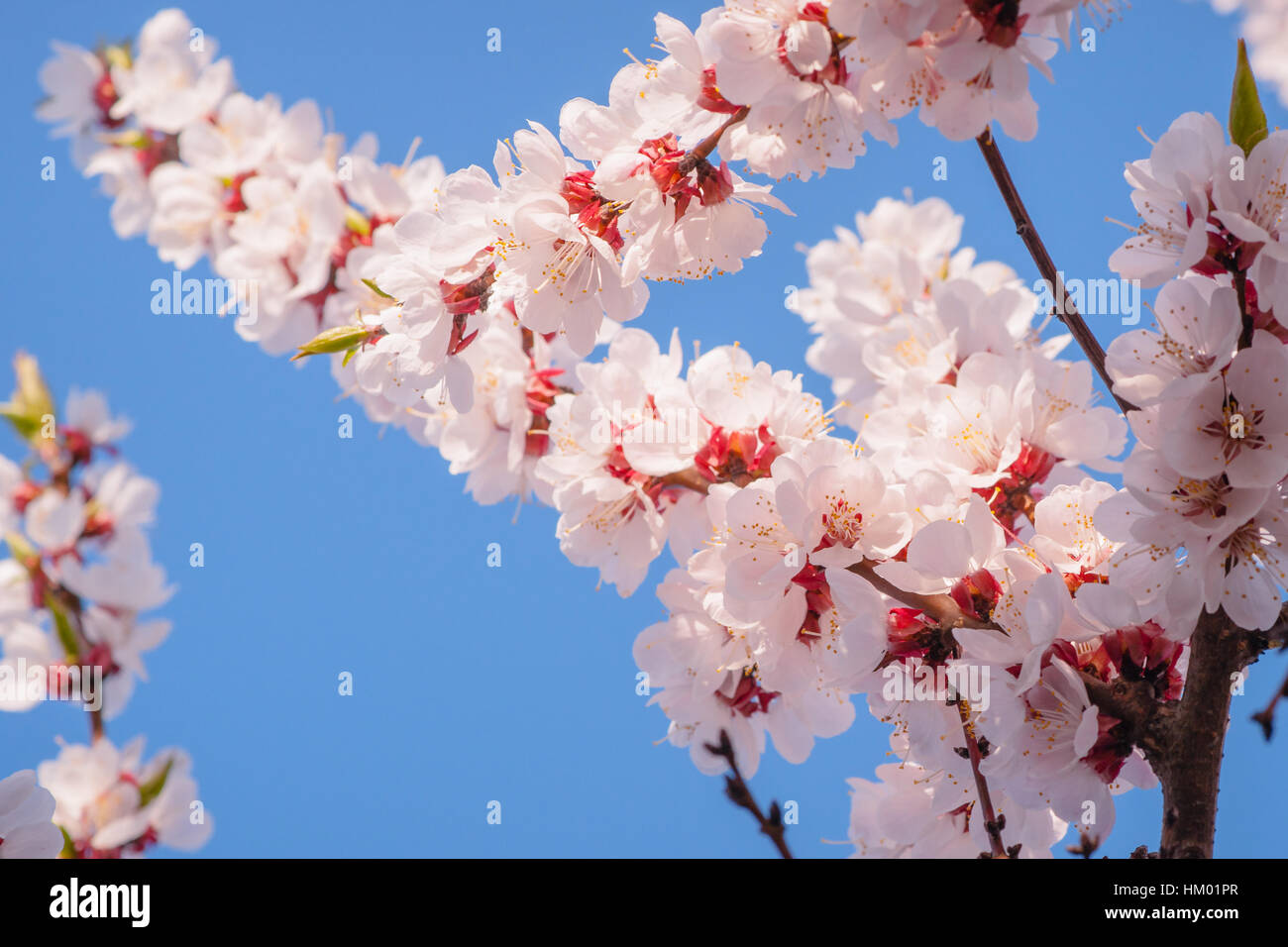 Soft flowers of japanese apricot prunus mume in full bloom pink soft flowers of japanese apricot prunus mume in full bloom pink flowers against the background of clear blue sky the joy and beauty of spring season mightylinksfo