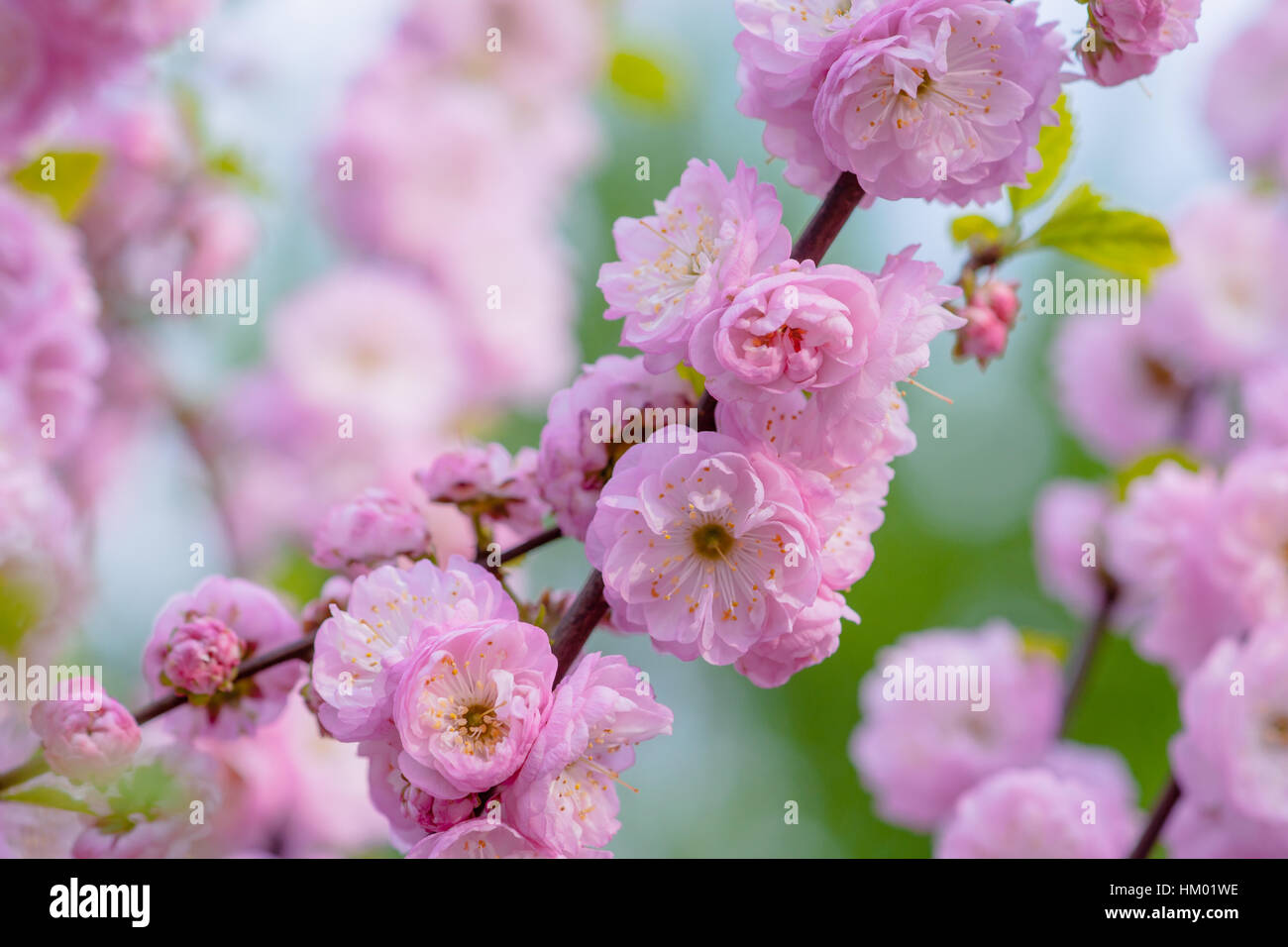 Pink flowers of flowering plum or flowering almond prunus triloba pink flowers of flowering plum or flowering almond prunus triloba sometimes the tree is called a shrubby cherry the joy and beauty of spring season mightylinksfo