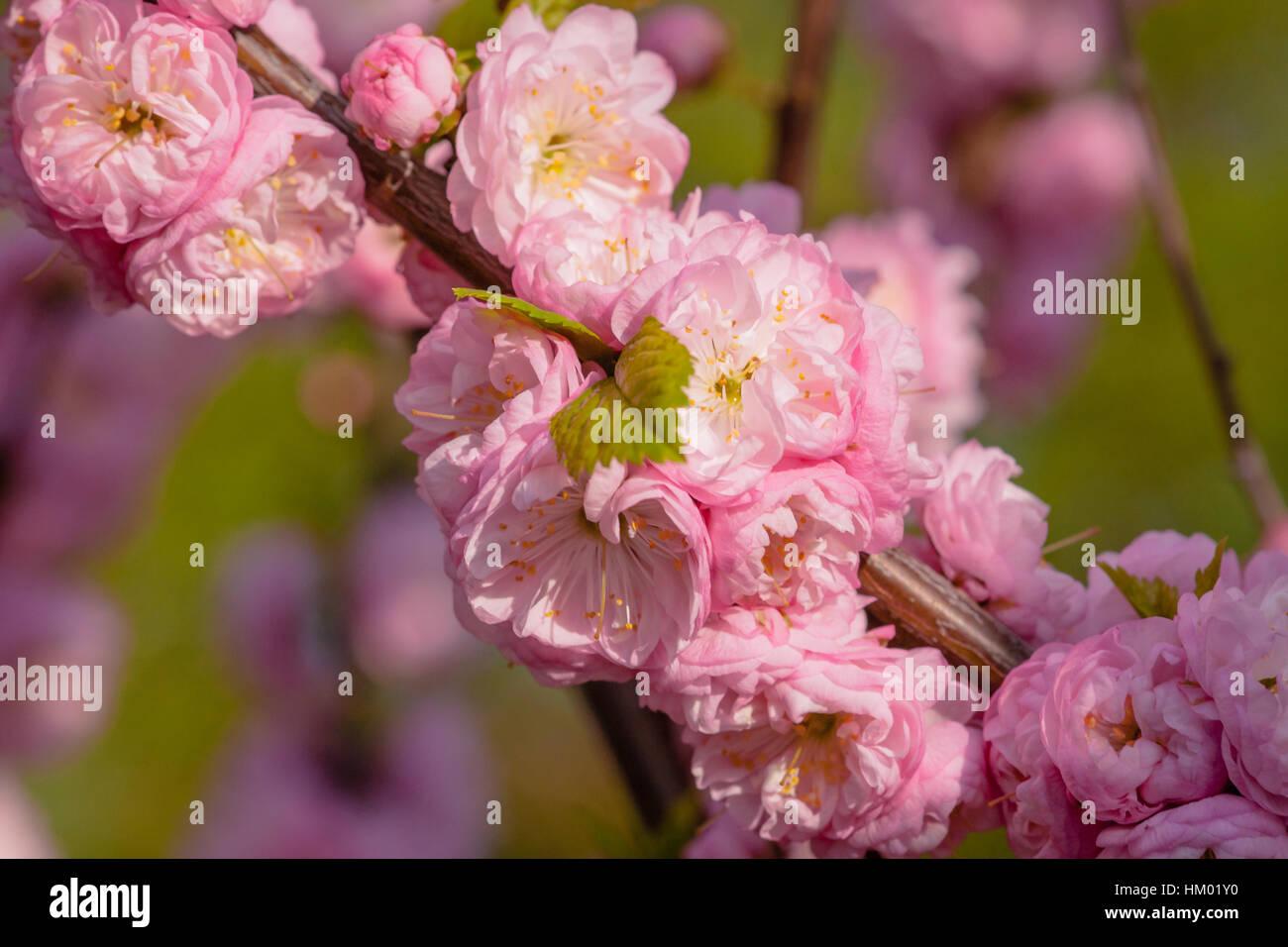 Flowering Almond Prunus Triloba Stock Photos Flowering Almond
