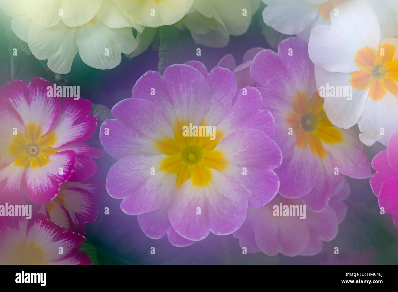Polyanthus photographed using multi exposures - Stock Image