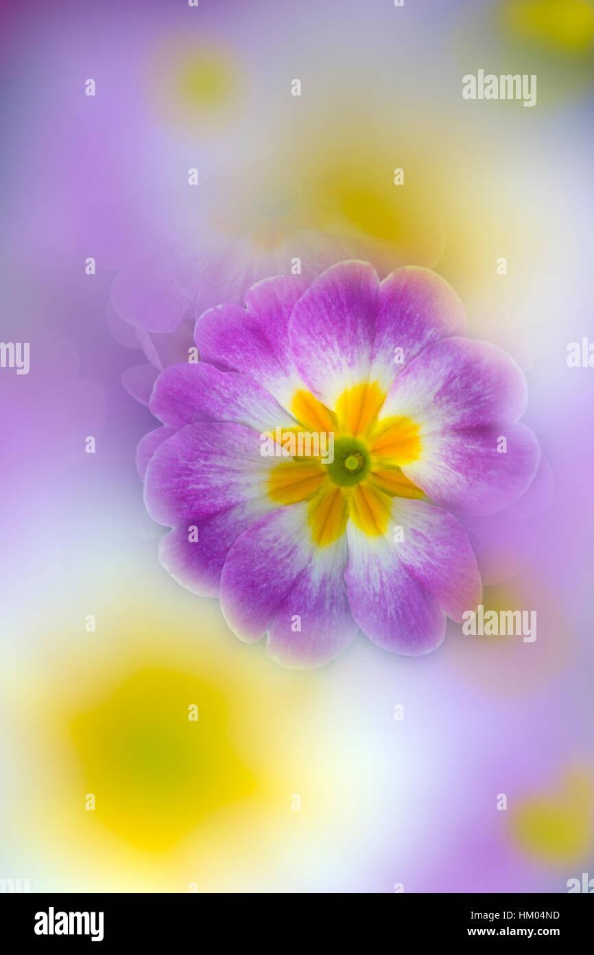 Polyanthus photographed using multi exposures Stock Photo