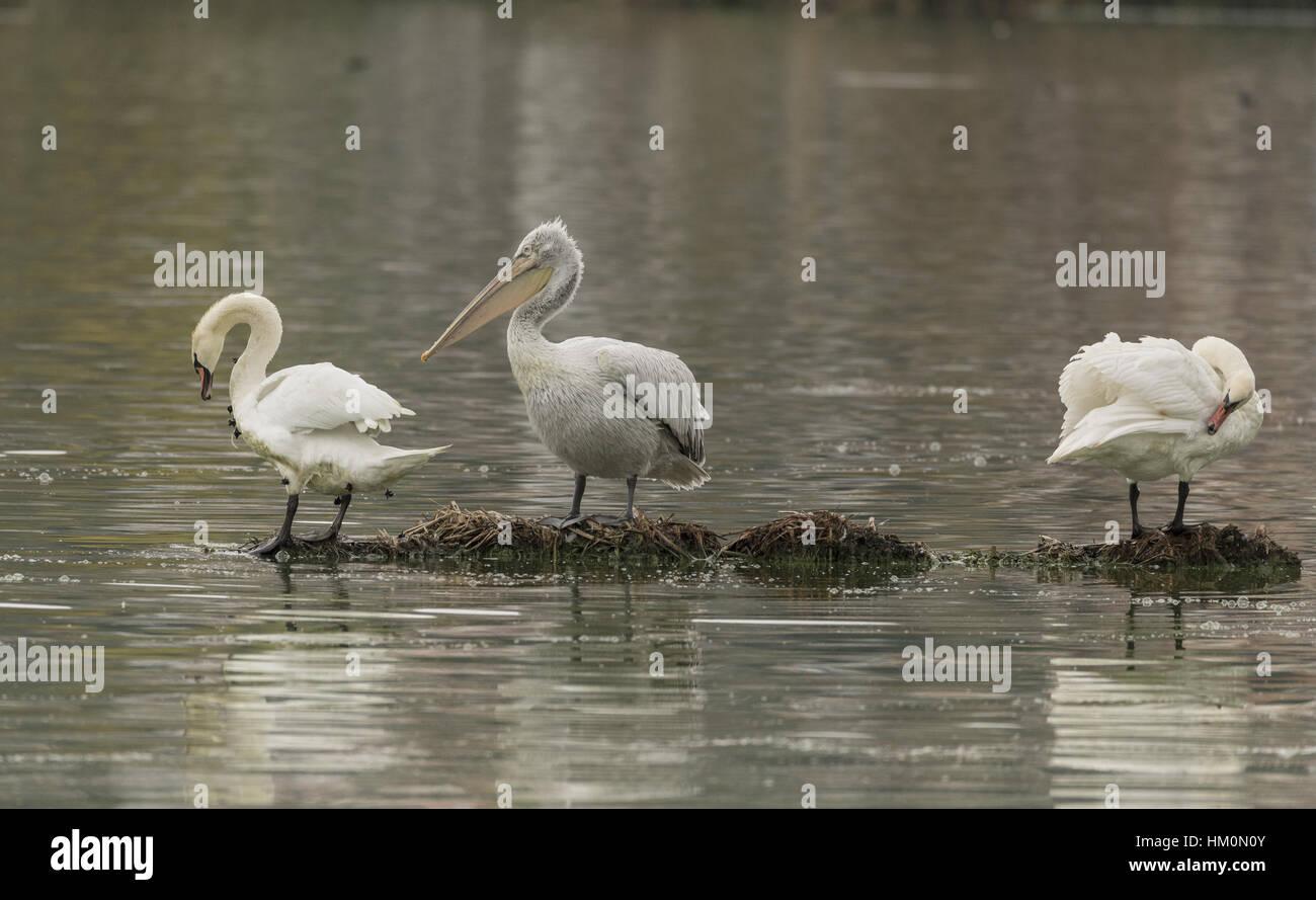 Dalmatian pelican and two mute swans, Lake Kerkini, Kerkini, Greece. - Stock Image