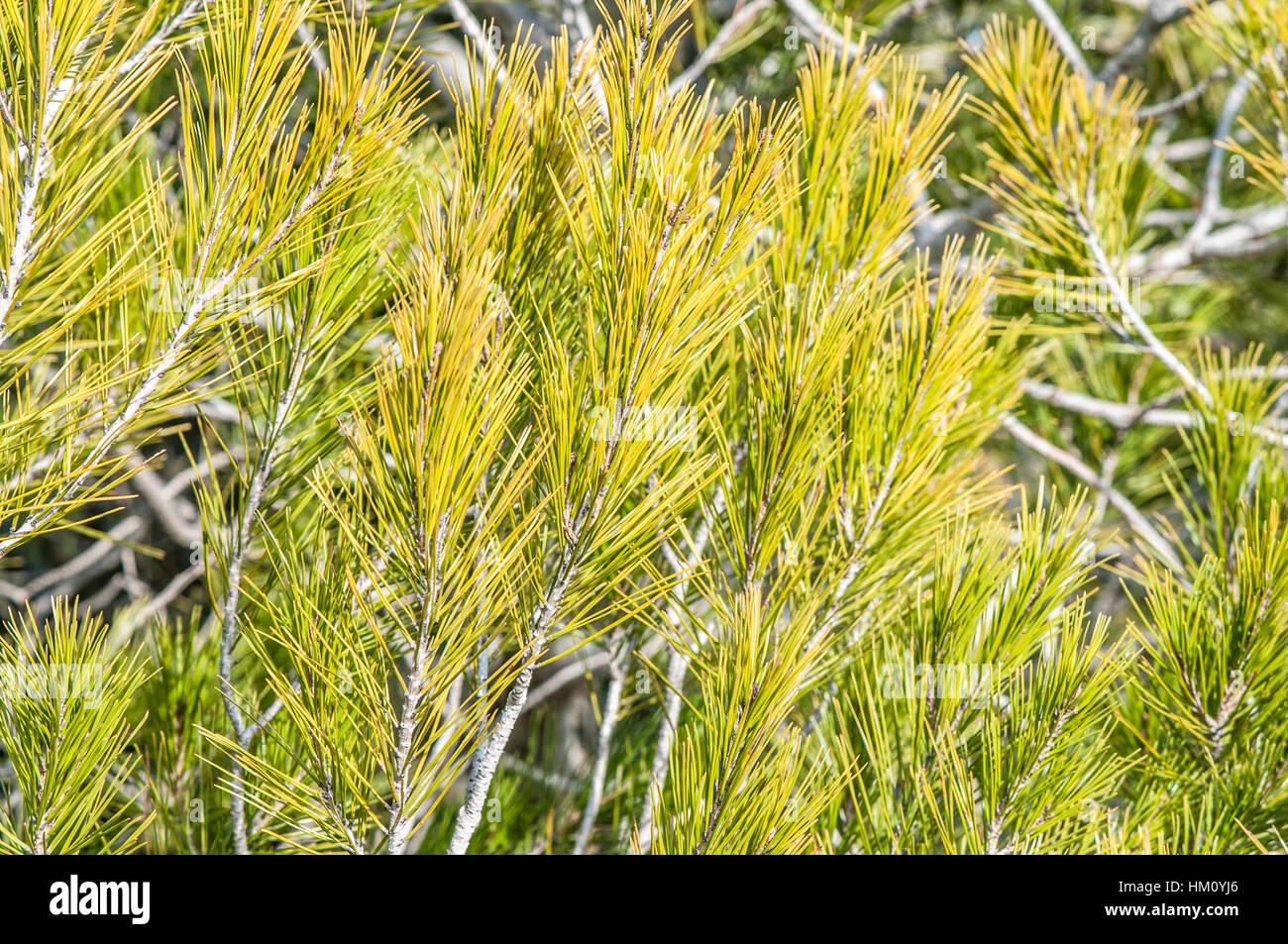 Aleppo pine (Pinus halepensis) leaf - Stock Image