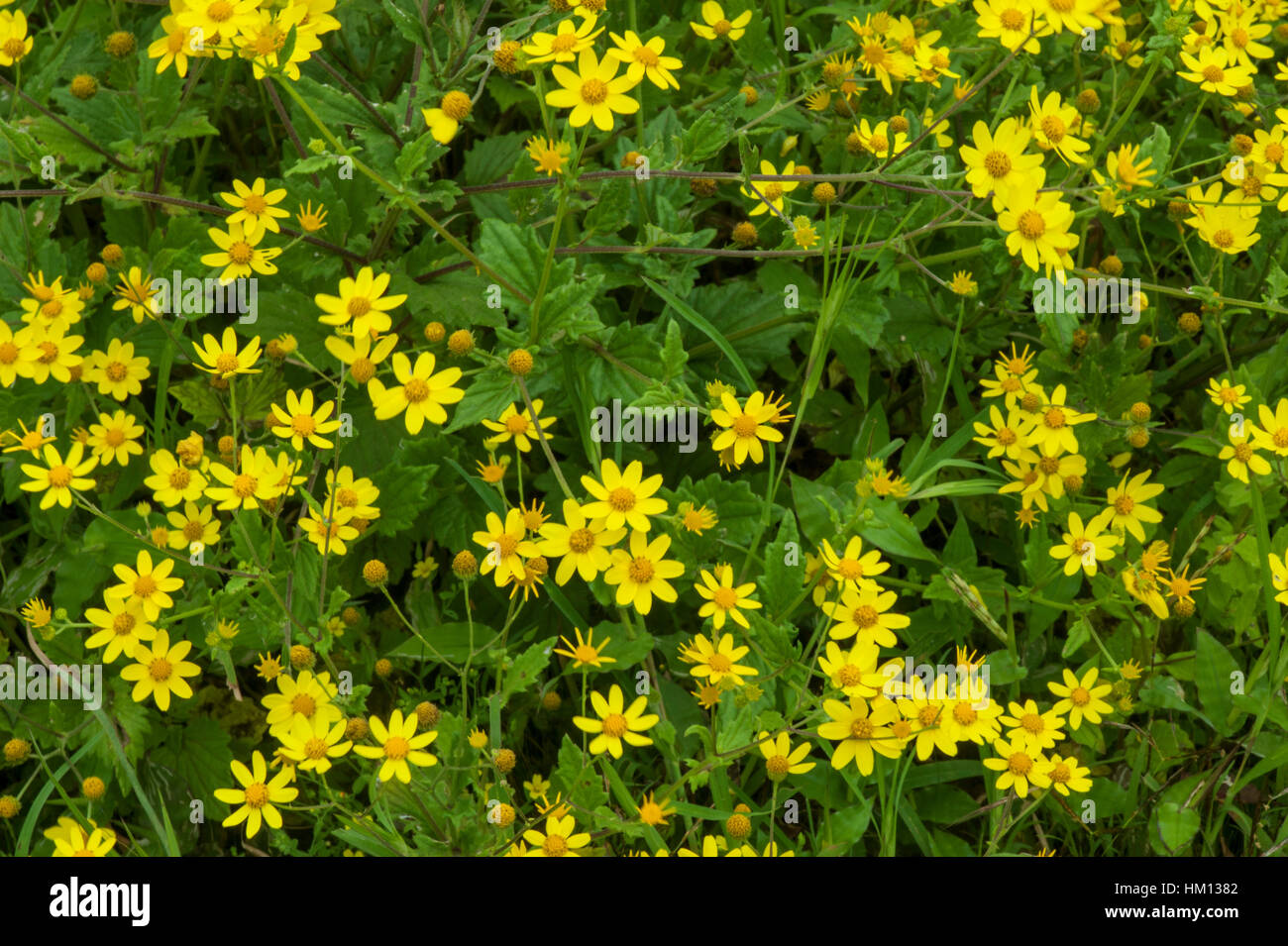 A bunch of Smithia flowers ! Stock Photo