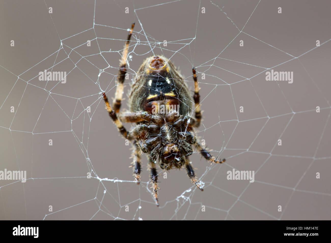 Orbweaver spider in web - Stock Image