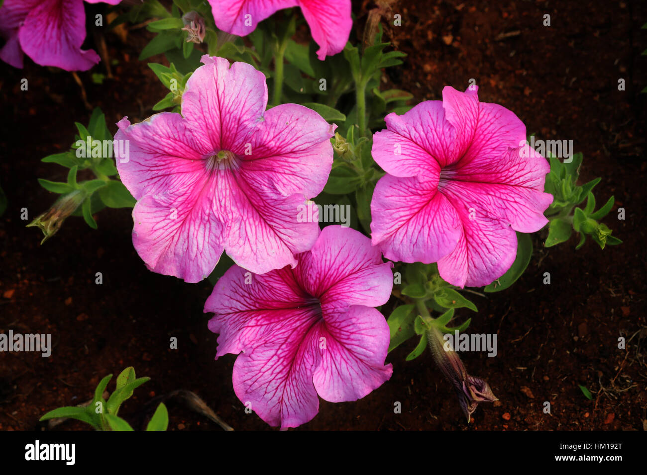 Baby pink flower wallpaper stock photos baby pink flower wallpaper beautiful portrait of 3 dark pink flowers stock image mightylinksfo