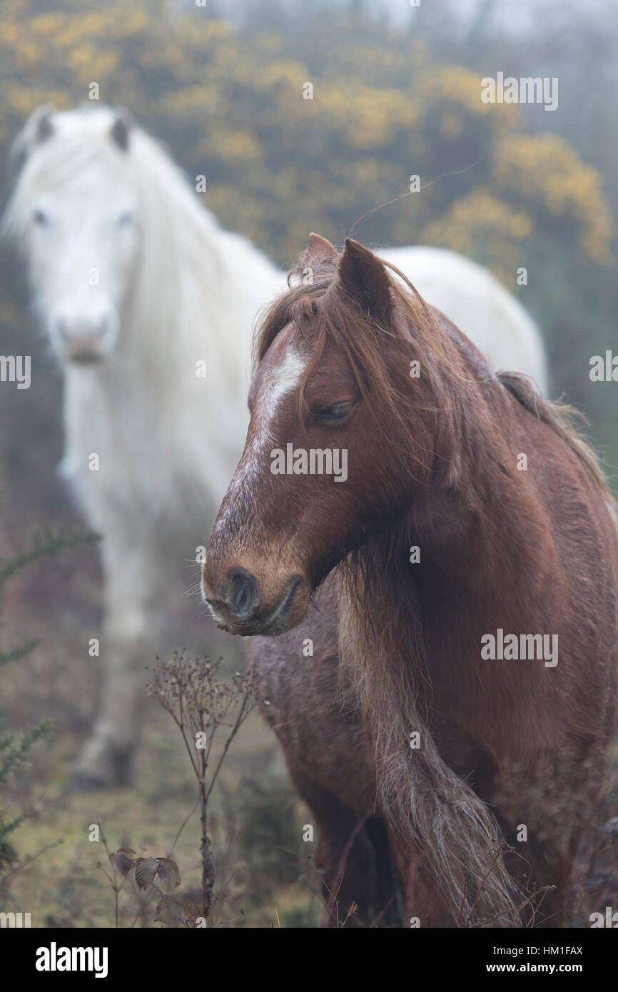 Flintshire, Wales, UK. 31st Jan, 2017. Wild Carneddau Mountain Ponies accustomed to the damp foggy conditions in - Stock Image