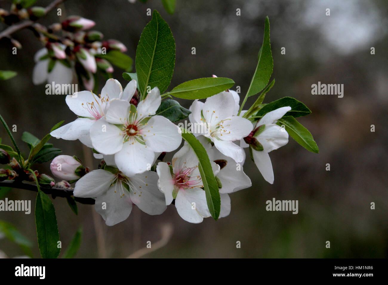 January 25, 2017 - Jenin, West Bank, Palestine - Almond blossoms bloom on a tree near the West Bank city of Jenin, - Stock Image