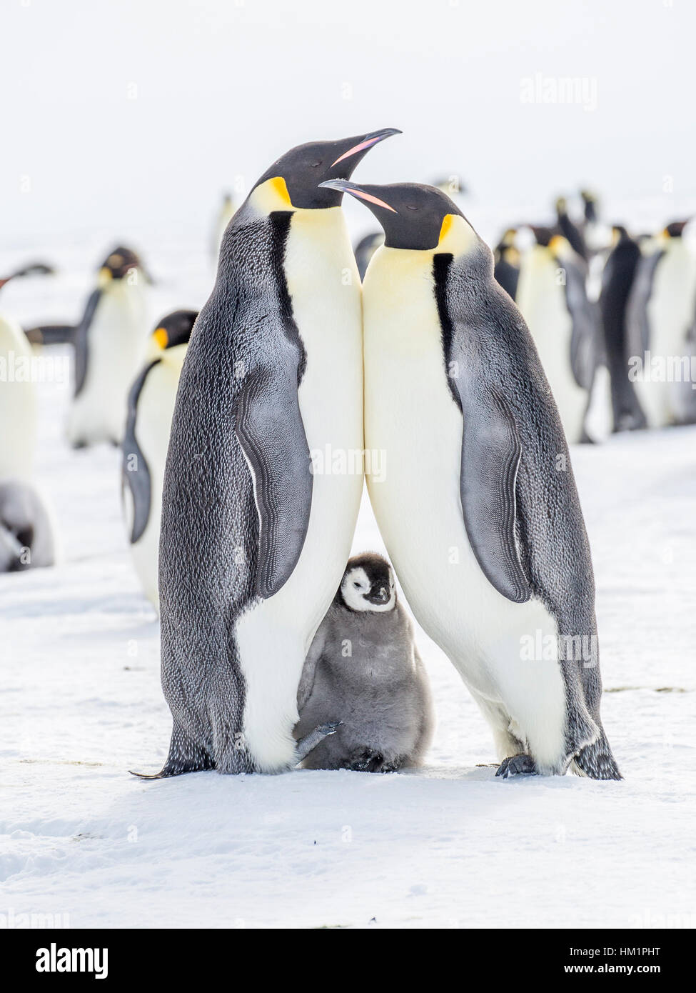 Gould Bay, Weddell Sea, Antarctica. 18th Nov, 2016. The parents of an Emperor Penguin chick stand together in a - Stock Image