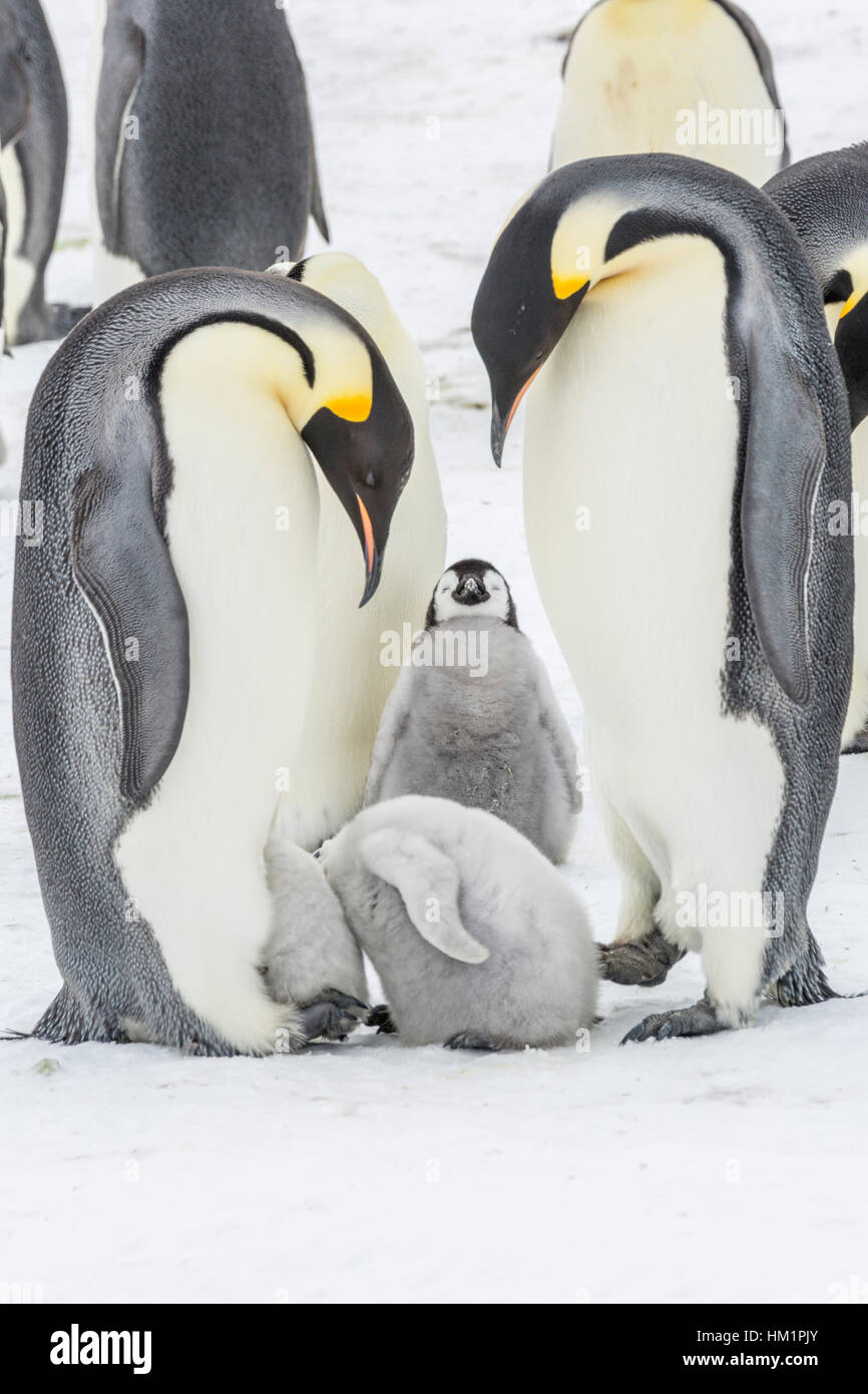 Gould Bay, Weddell Sea, Antarctica. 17th Nov, 2016. Two Emperor Penguin chicks have their heads inside a brood pouch - Stock Image