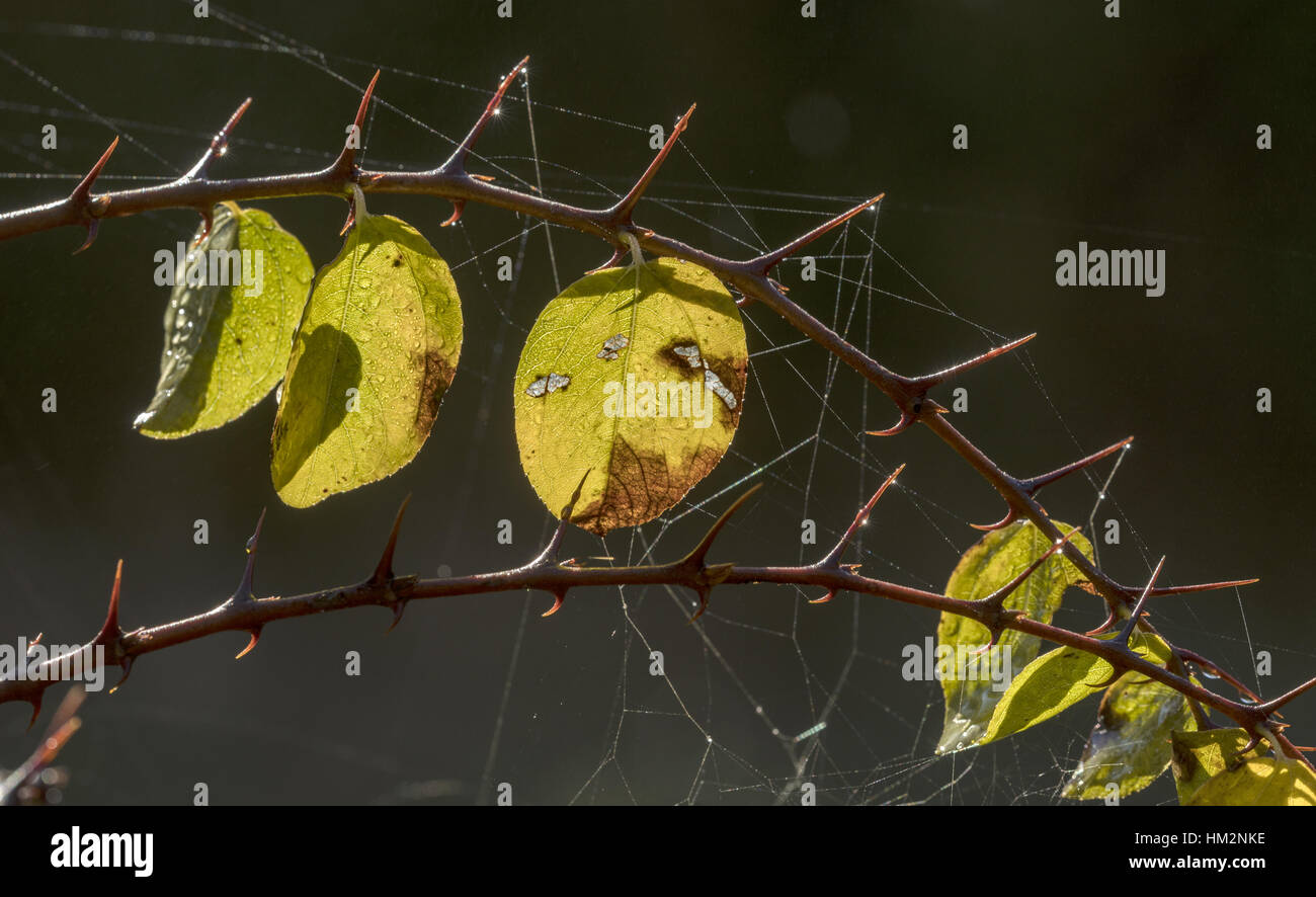 Christ's thorn, Paliurus spina-christi, leaves and spines on a dewy autumn morning. Greece. - Stock Image