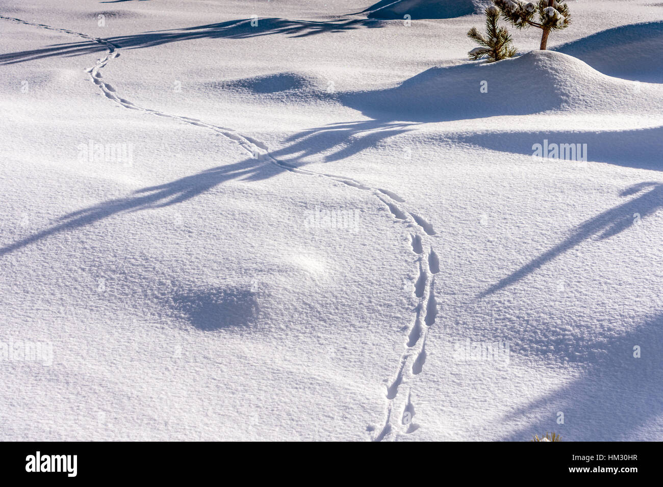 Animal tracks in the snow, Plateau de Beille, French Pyrenees - Stock Image