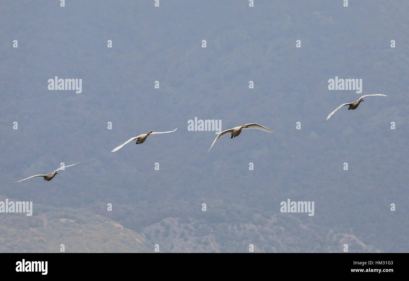 Family group of Bewick's swan,  Cygnus columbianus, in flight on migration at Lake Kerkini, Greece, Stock Photo