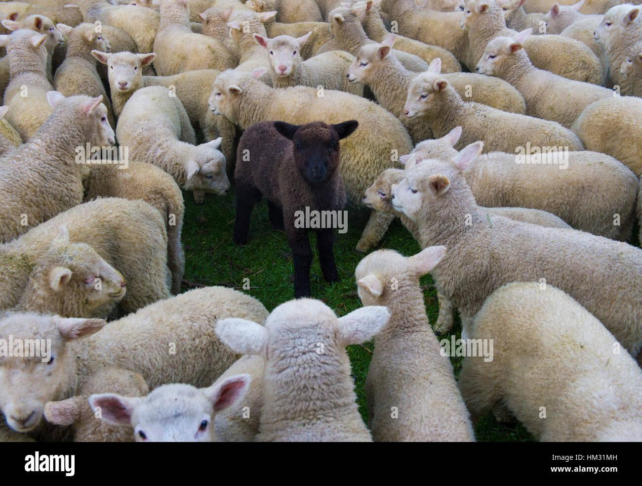 Black sheep of the family Black sheep among white sheep - Stock Image
