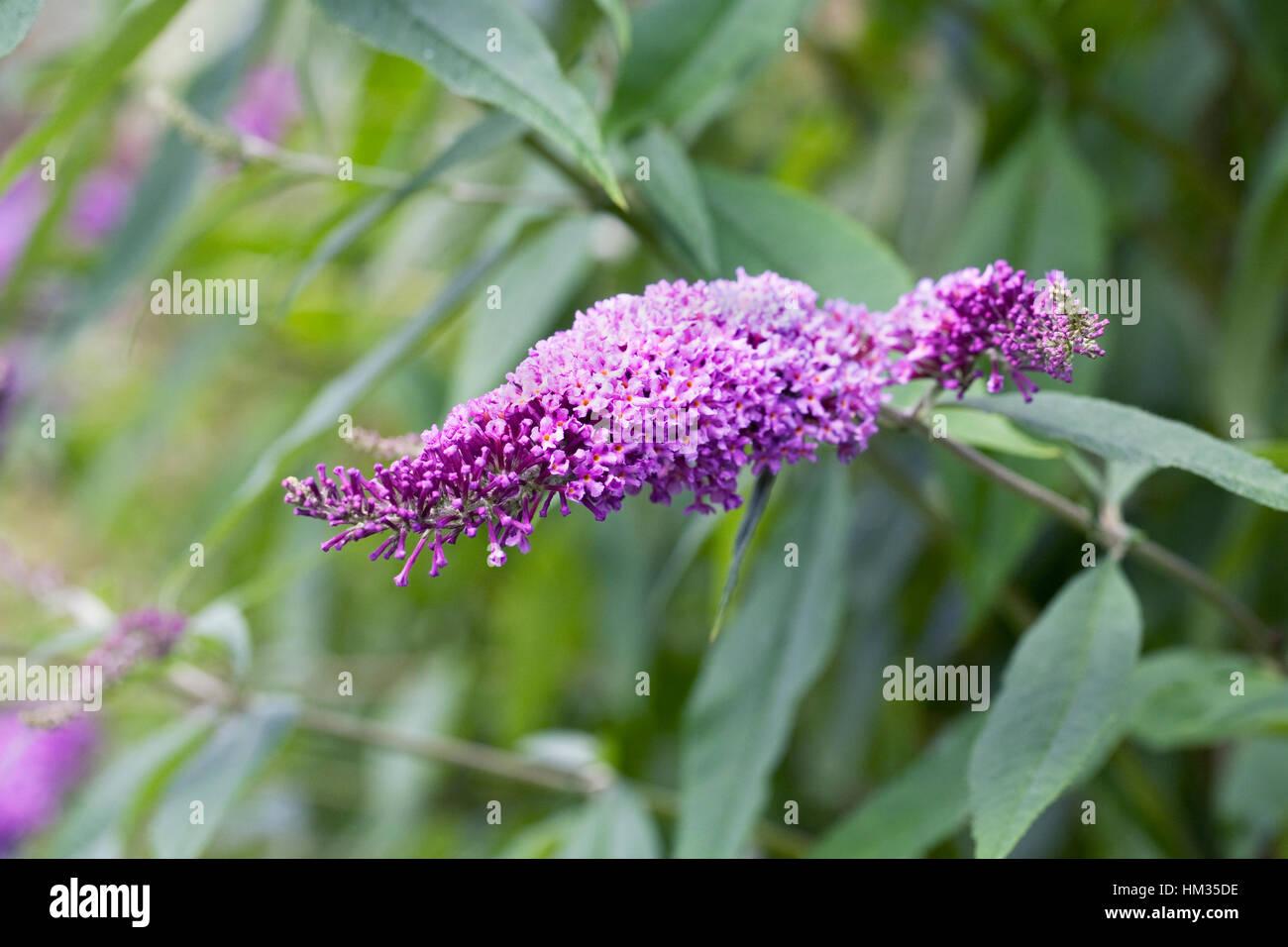 Buddleja davidii Buzz flowers. - Stock Image
