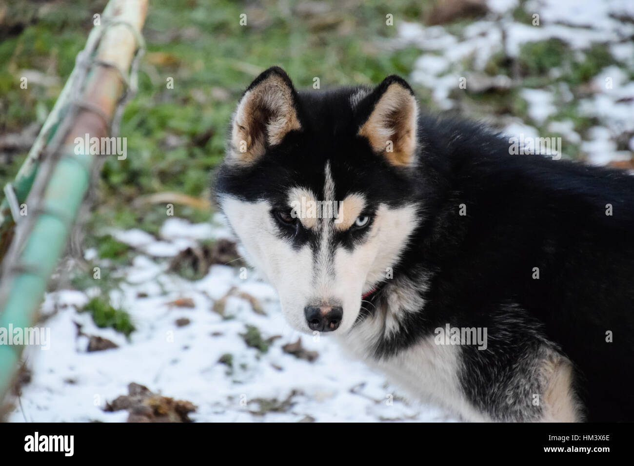 Husky Dog With Different Eyes Black And White Husky Brown And Blue