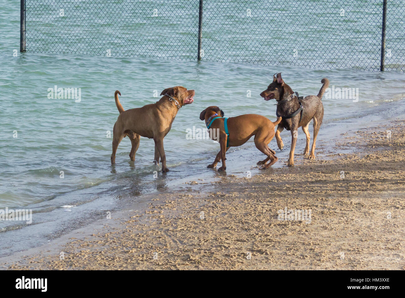 Aggressive dog park behavior, boxer mutt cowering between pit bull mix and German shepherd mix who seems to be delivering - Stock Image