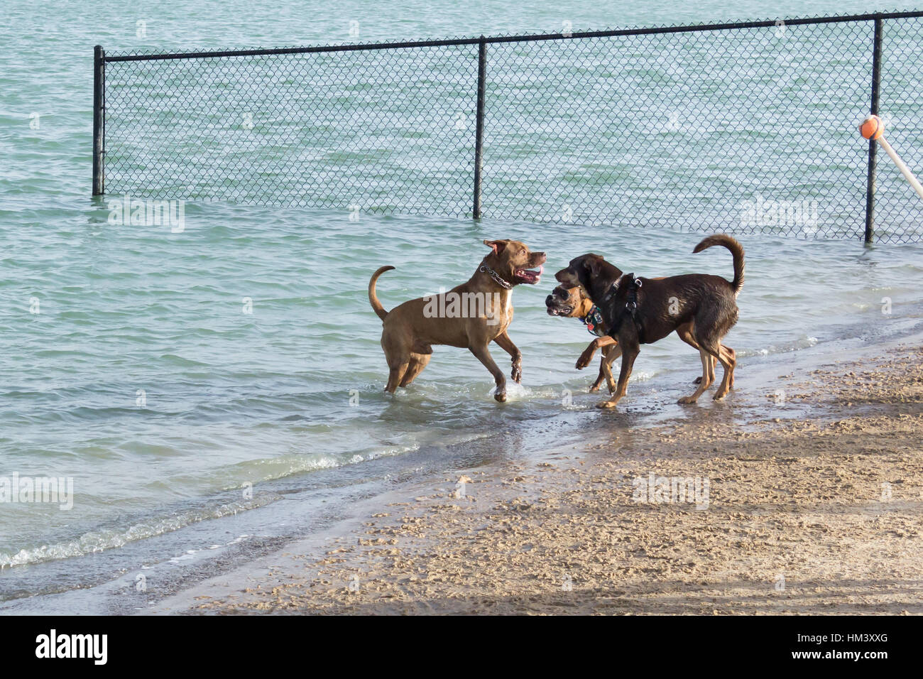 Bulldog and German shepherd mutts confronting an exuberant pit bull mix, with a slap and a growl, as he waits to - Stock Image