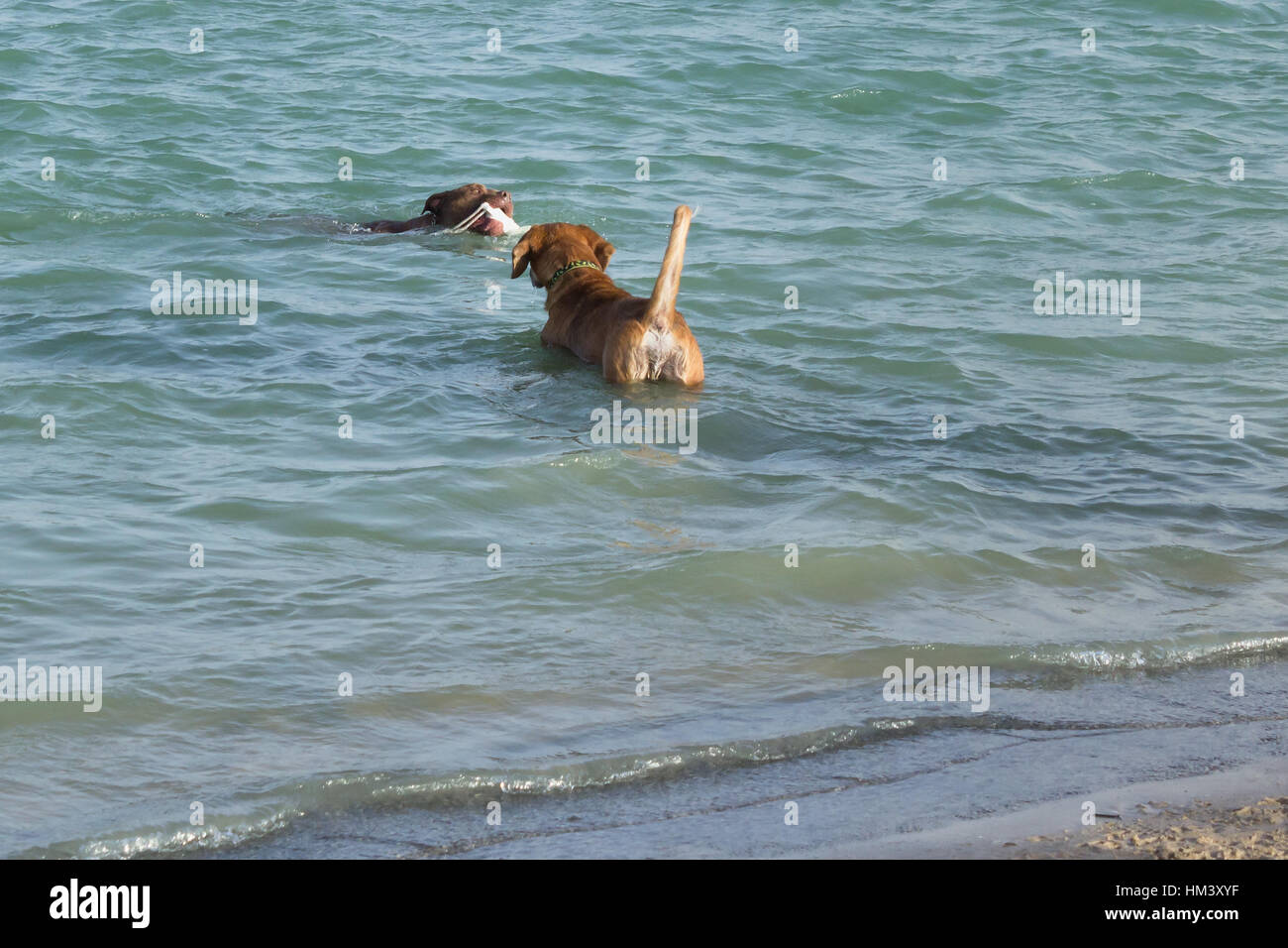 Beagle mix, standing in water with tail to the camera, watches pit bull mix bring white fetch toy ashore at a dog - Stock Image