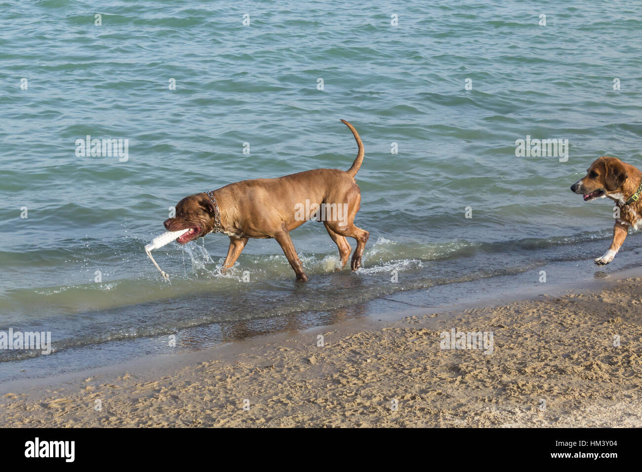 Bullmastiff pit bullterrier mix carrying a white fetch toy as a beagle Welsh corgi mix enters this dog park beach - Stock Image