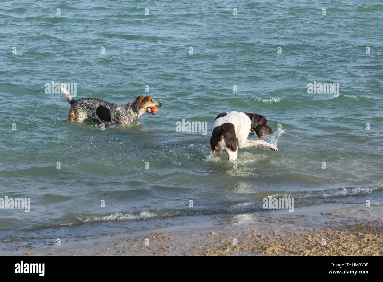 Ball toting bluetick hound walker coonhound mutt watching a confused pointer dalmation mix slap and bite the water - Stock Image