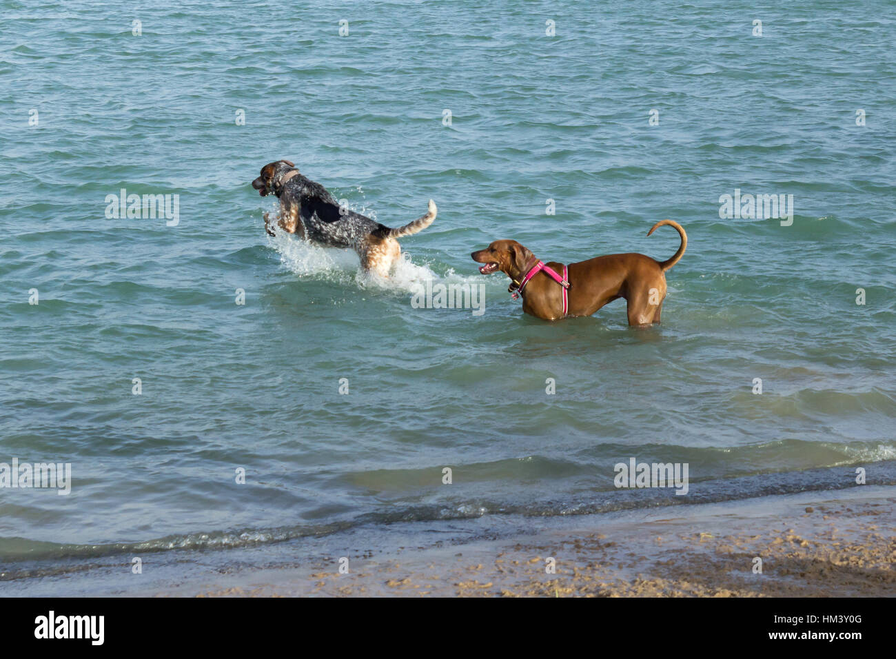 Hound dog leaping and splashing in the water with her mutt pal, a Rhodesian Ridgeback mix, standing behind her. - Stock Image