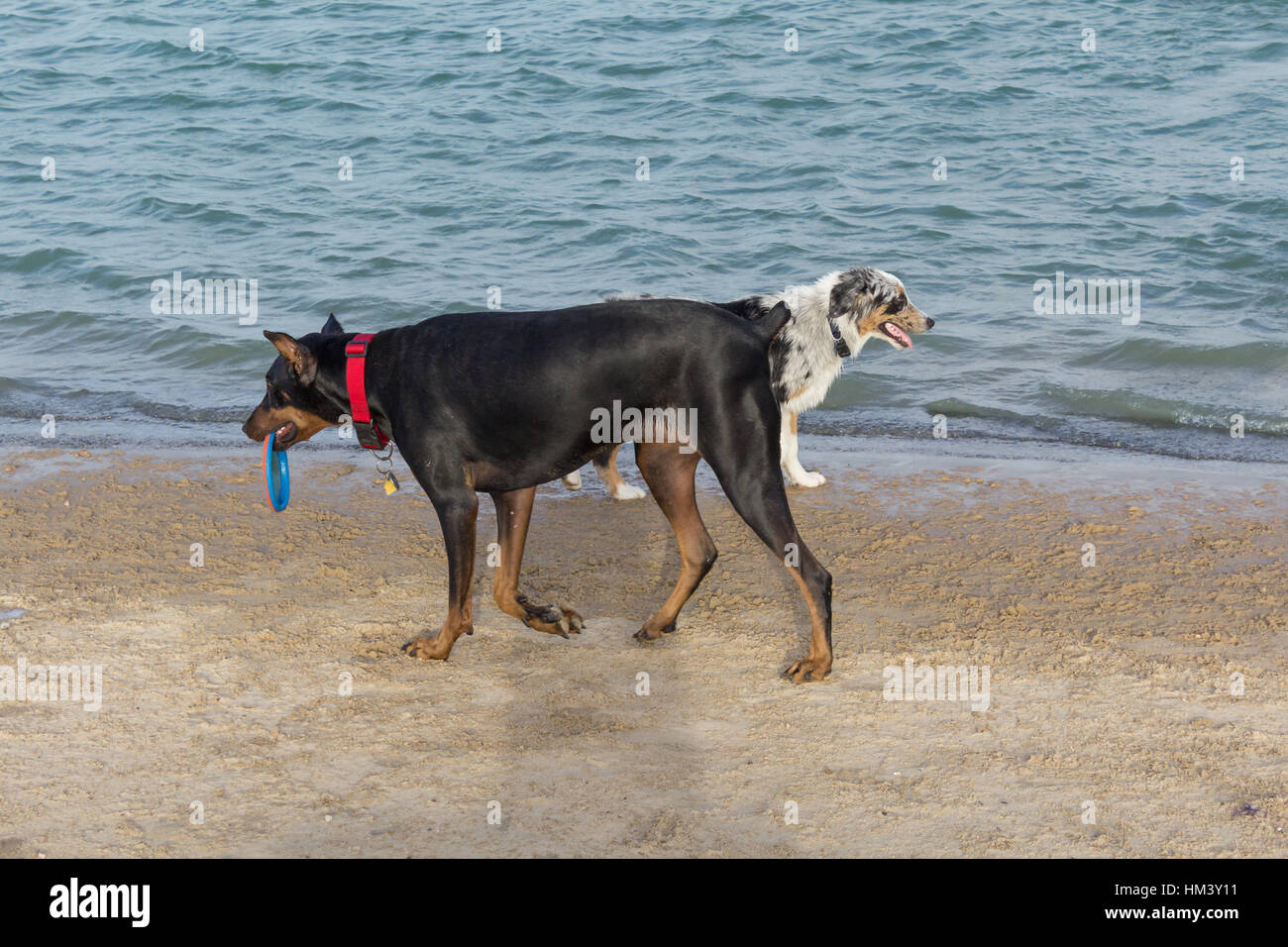 Austrailian shepherd mix and a wet doberman pinscher walking on a beach like two ships that pass in the night - Stock Image