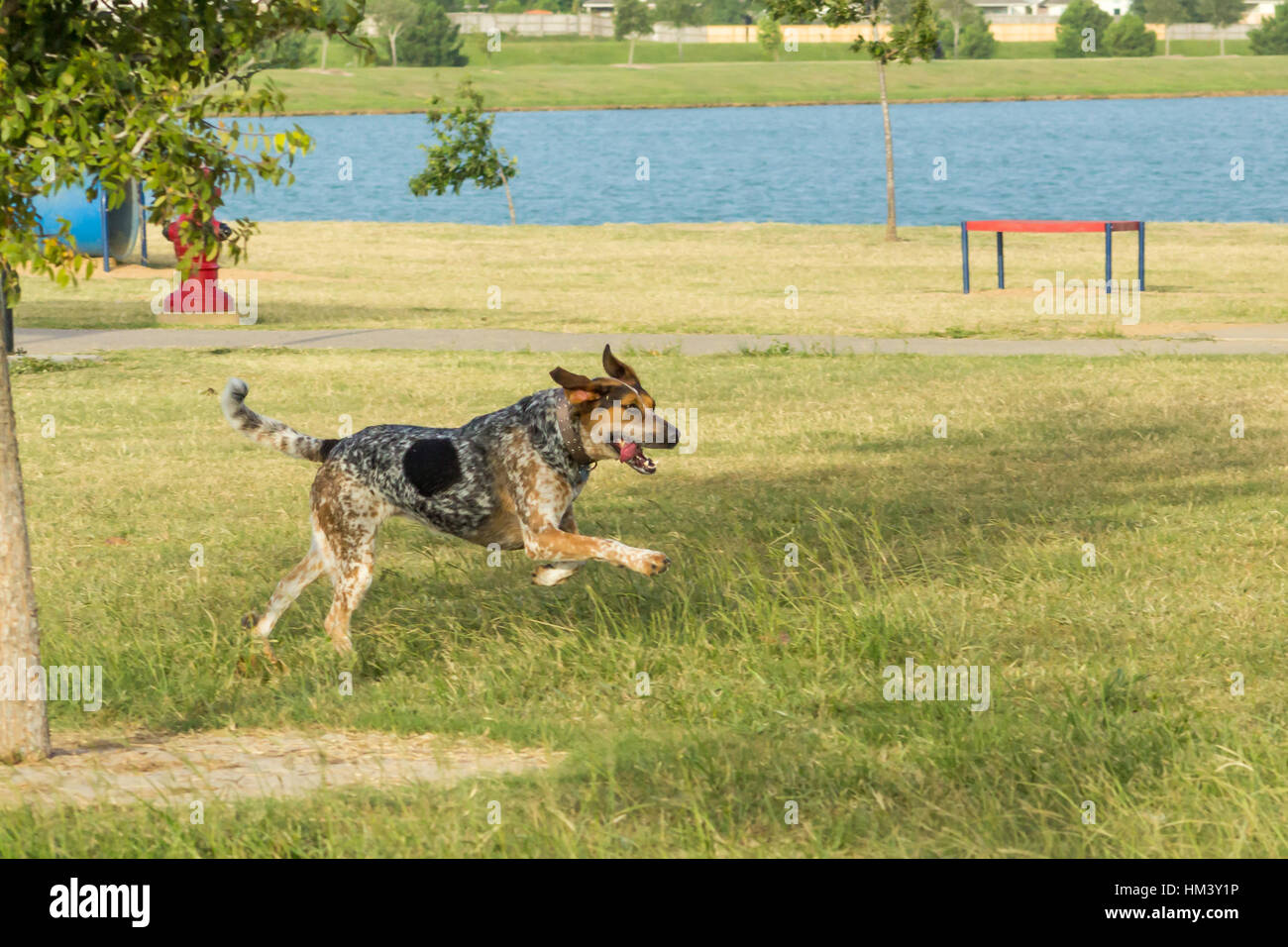 Bluetick hound and tricolored treeing walker coondog running through a dog park, with an expression of joy and excitement - Stock Image