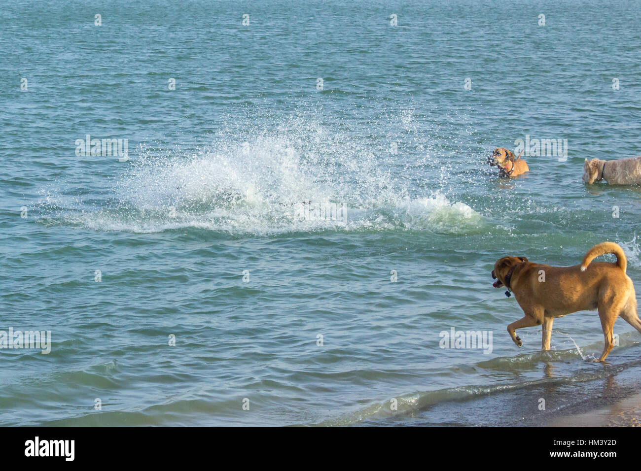 Dogs completely concealed in a huge splash of water in a dog park pond while mutt pals stand watching - Stock Image
