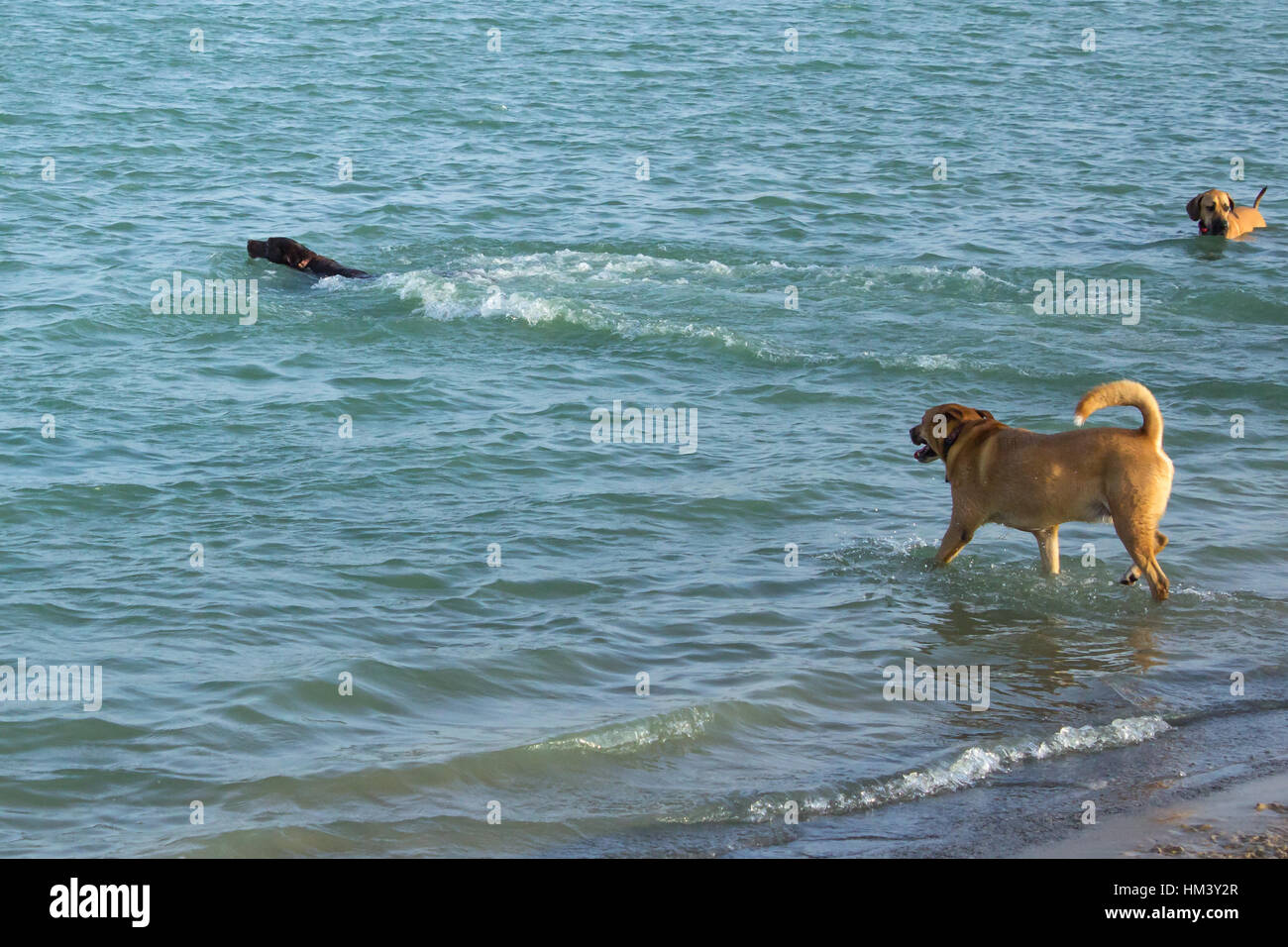 Black Labrador retriever mix swimming in a dog park pond while golden retriever mix enters the pond to join her Stock Photo