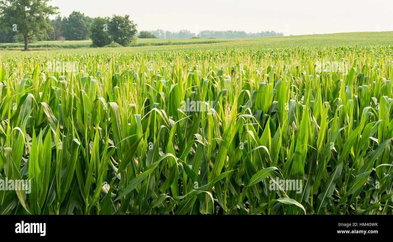 Ripening corn in Illinois field. - Stock Image