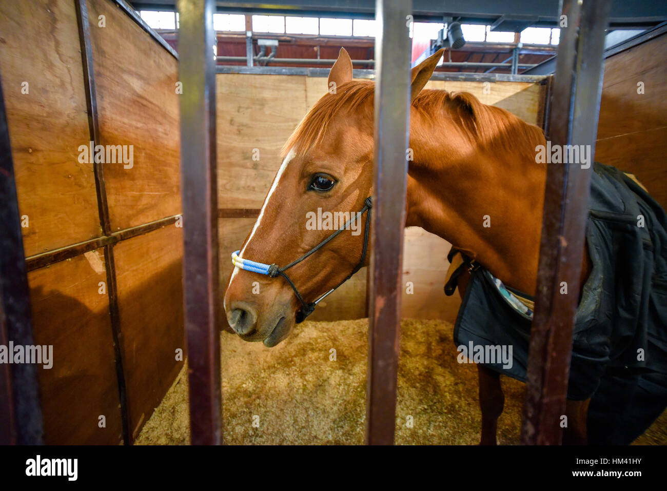 Bay horse covered with a blanket in a stable - Stock Image