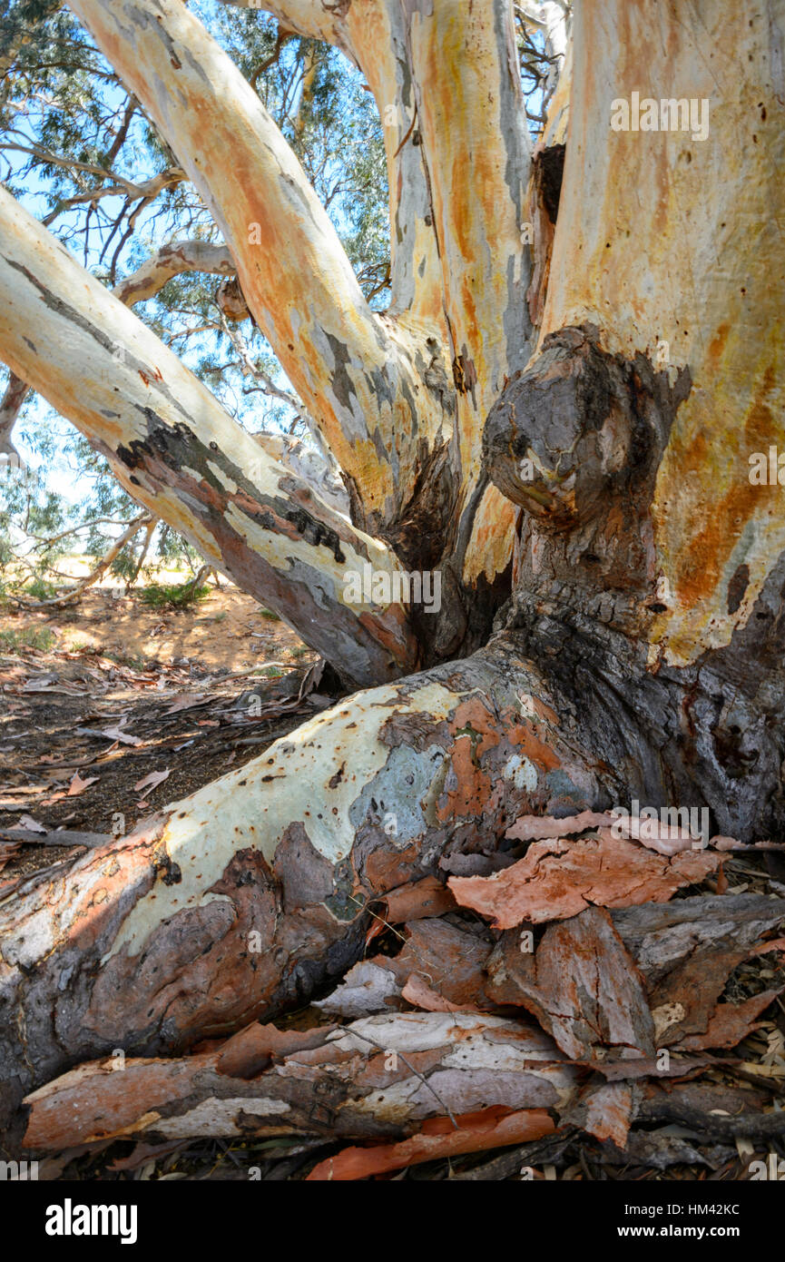 Several hundred years old Giant River Red Gum (Eucalyptus camaldulensis) nicknamed 'The God Tree' at Perry Sandhills, Stock Photo