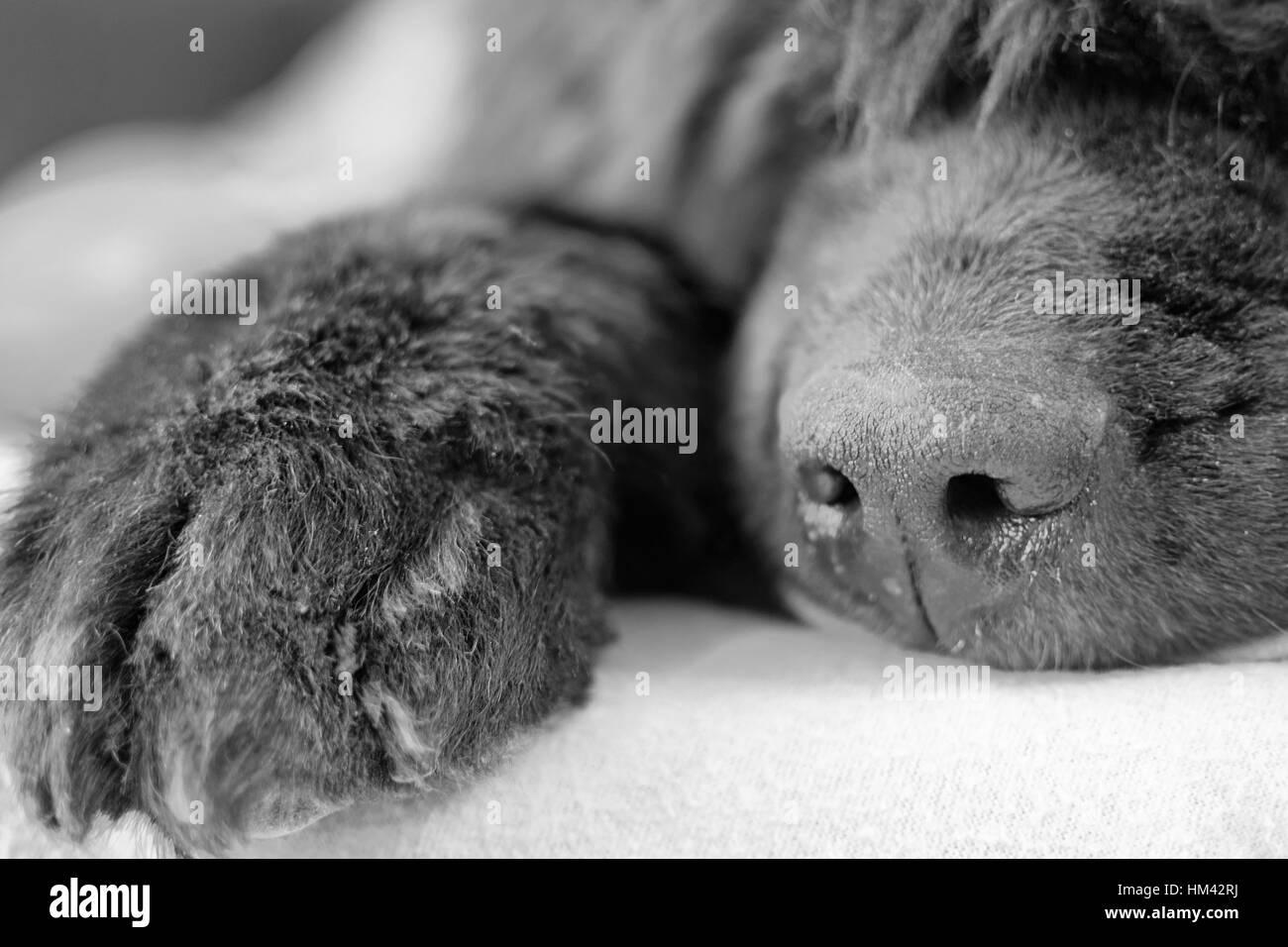 Close up of Newfoundland dog. Black and white image. - Stock Image
