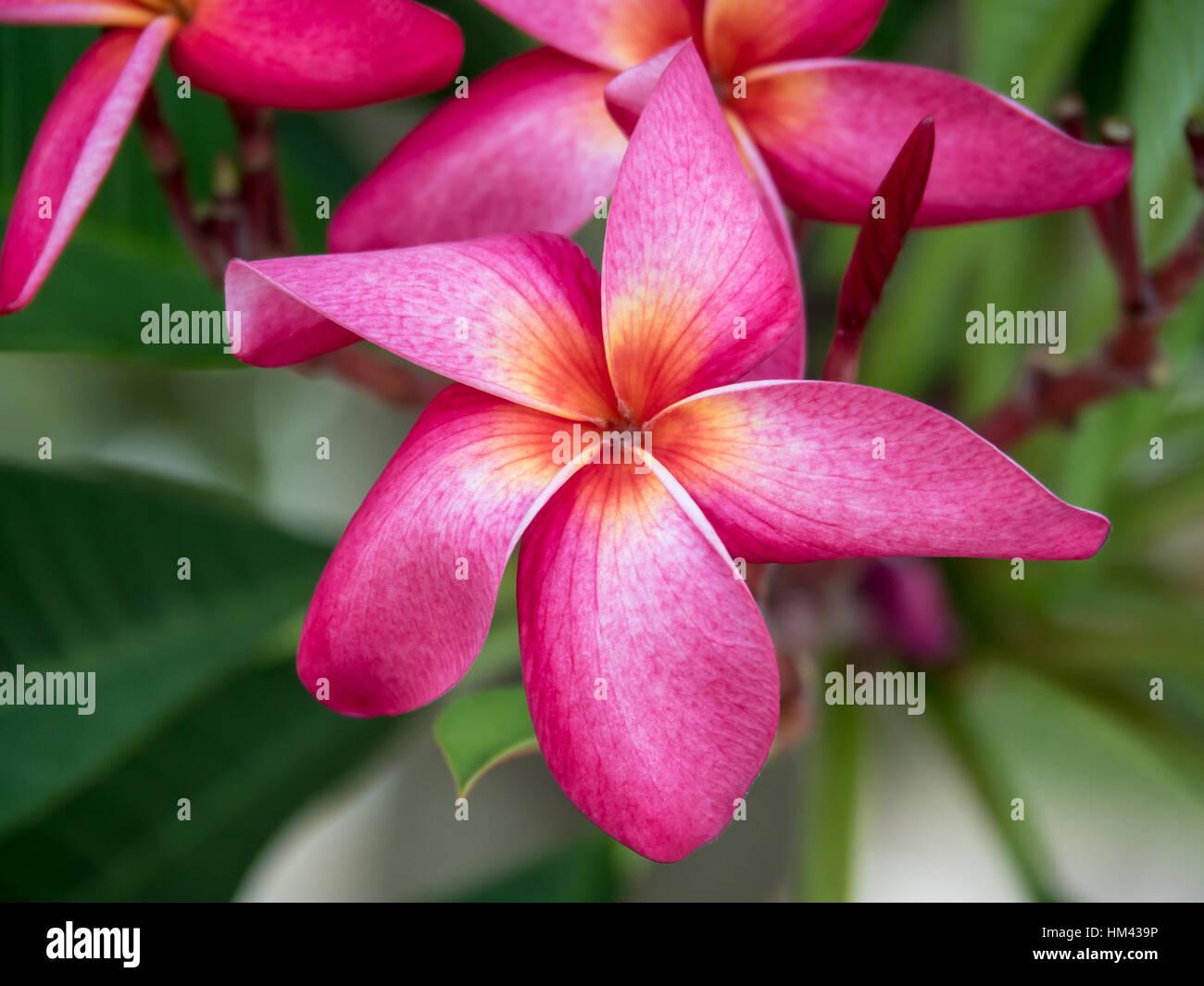 Pink plumeria flower blooming on tree spa flower stock photo pink plumeria flower blooming on tree spa flower mightylinksfo
