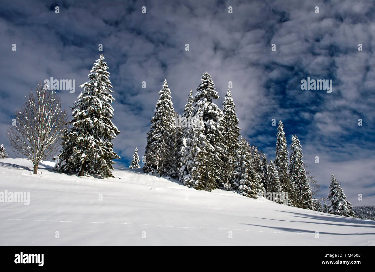 Winter landscape with snow-covered spruces in the Swiss Jura mountain range near Saint-Cergue, Vaud, Switzerland - Stock Image