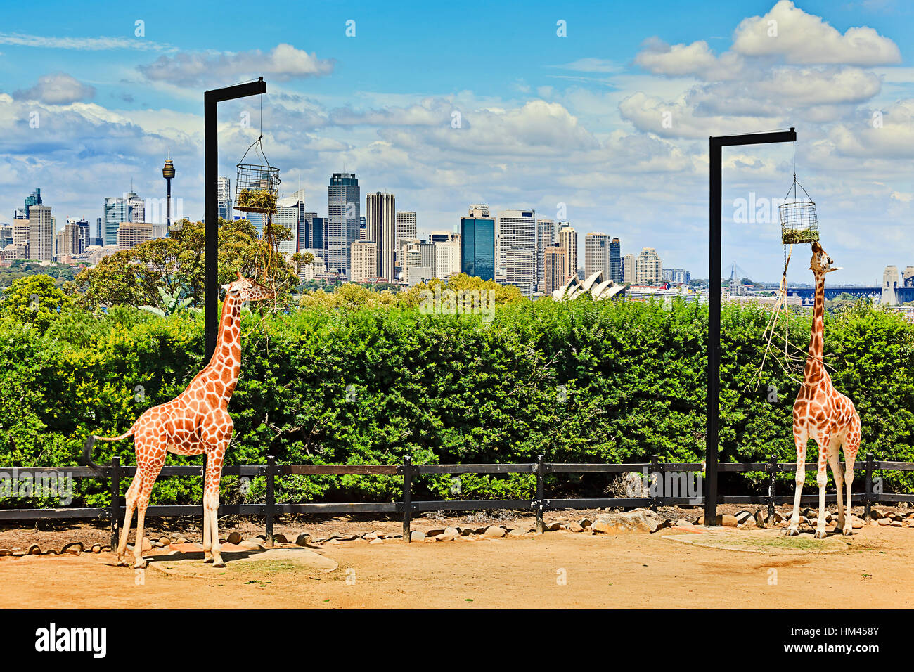 A couple of african giraffes in green park area on shore of Sydney harbour against city CBD landmarks are eating - Stock Image