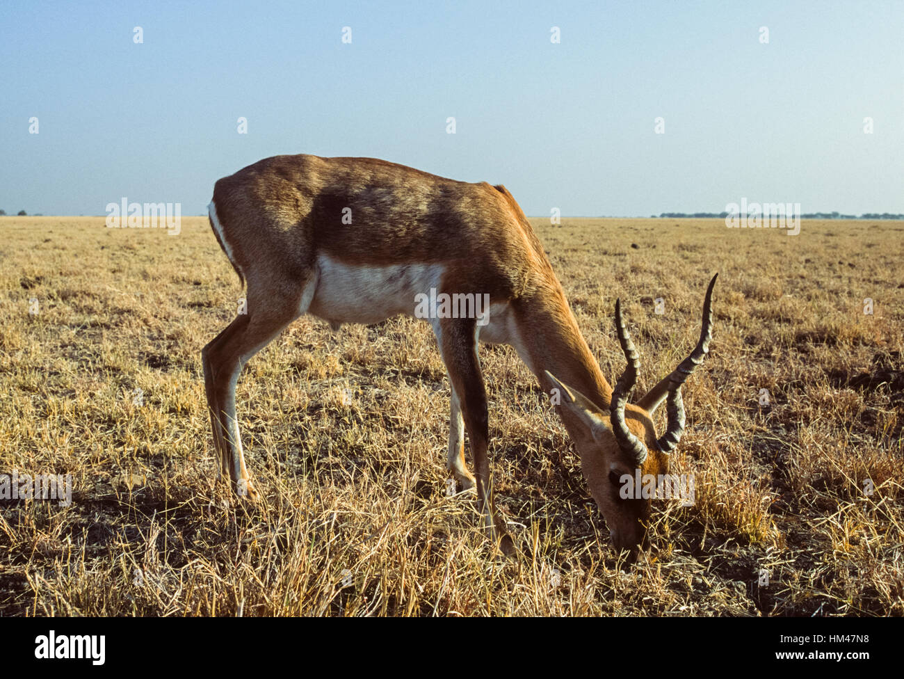 Indian Blackbuck, (Antilope cervicapra),male on grassland plains, Blackbuck National Park,Velavadar,Gujarat,India - Stock Image