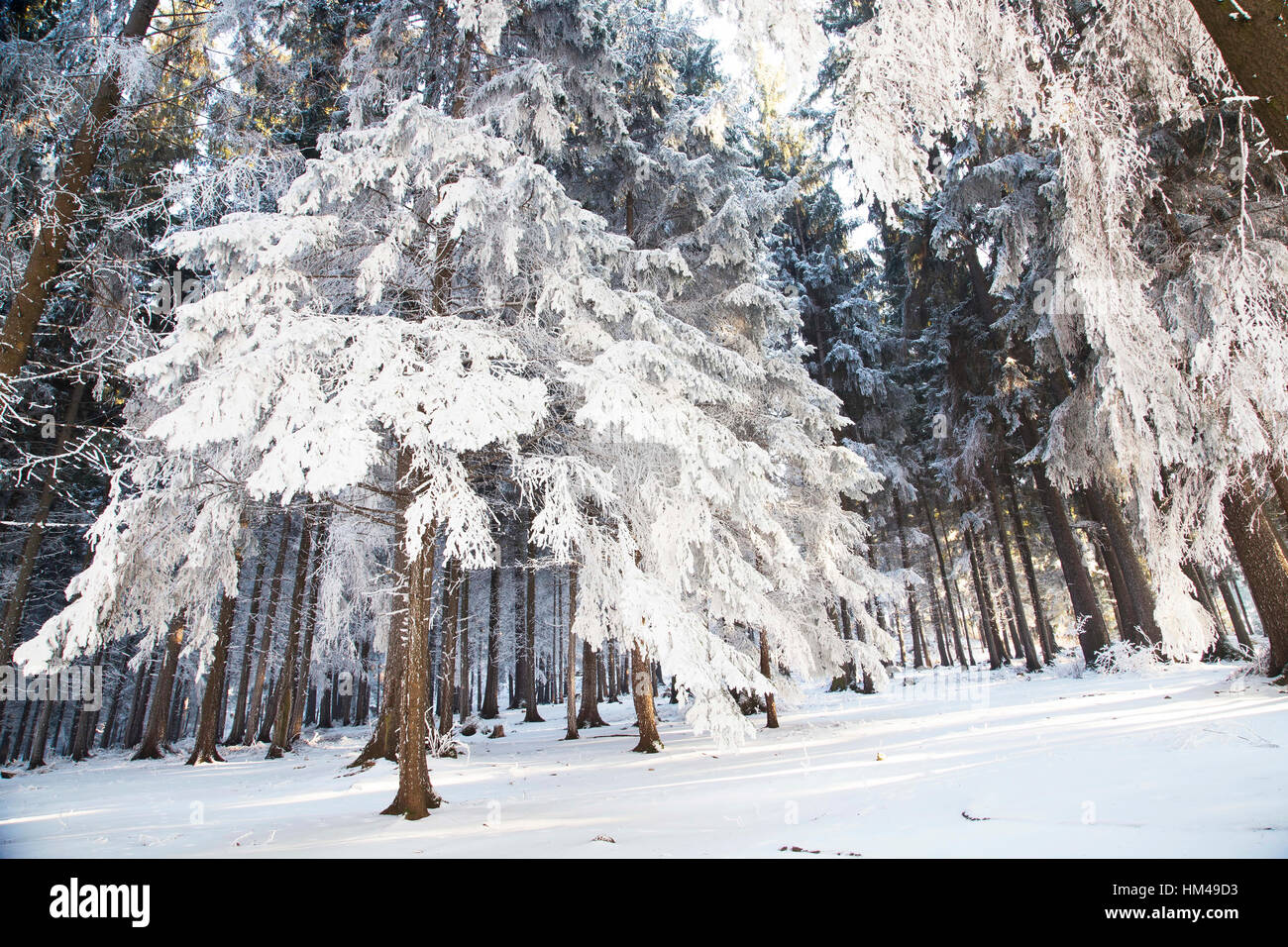 Winter forest scene with snow covered trees, nature winter scene landscape Stock Photo