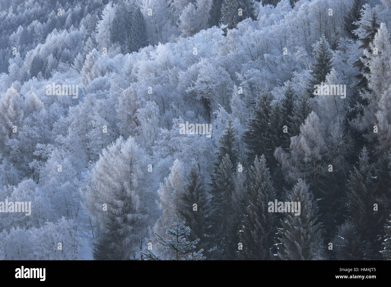 Morning hoar frost in the forest near Axams, Tirol, Austria - Stock Image