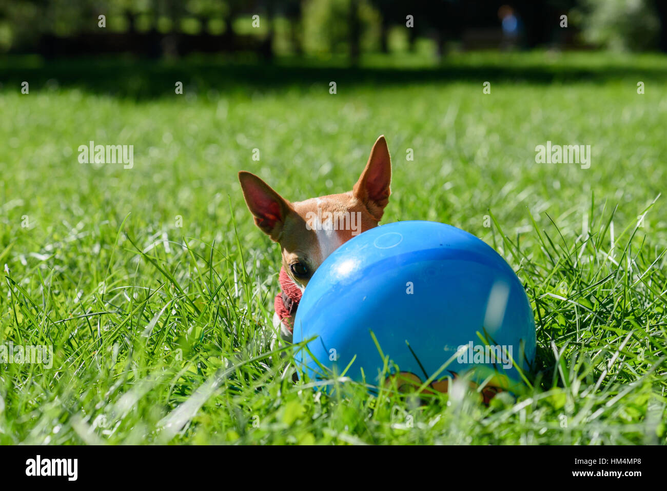 Small dog with big ears hiding behind blue ball - Stock Image
