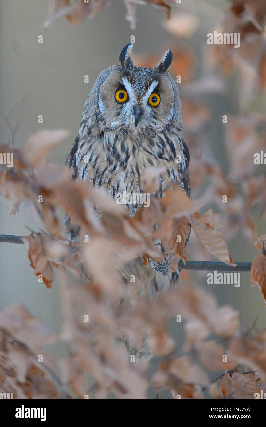 Long-eared owl (Asio otus) sitting on autumn coloured beech branch, Bohemian Forest, Czech Republic - Stock Image